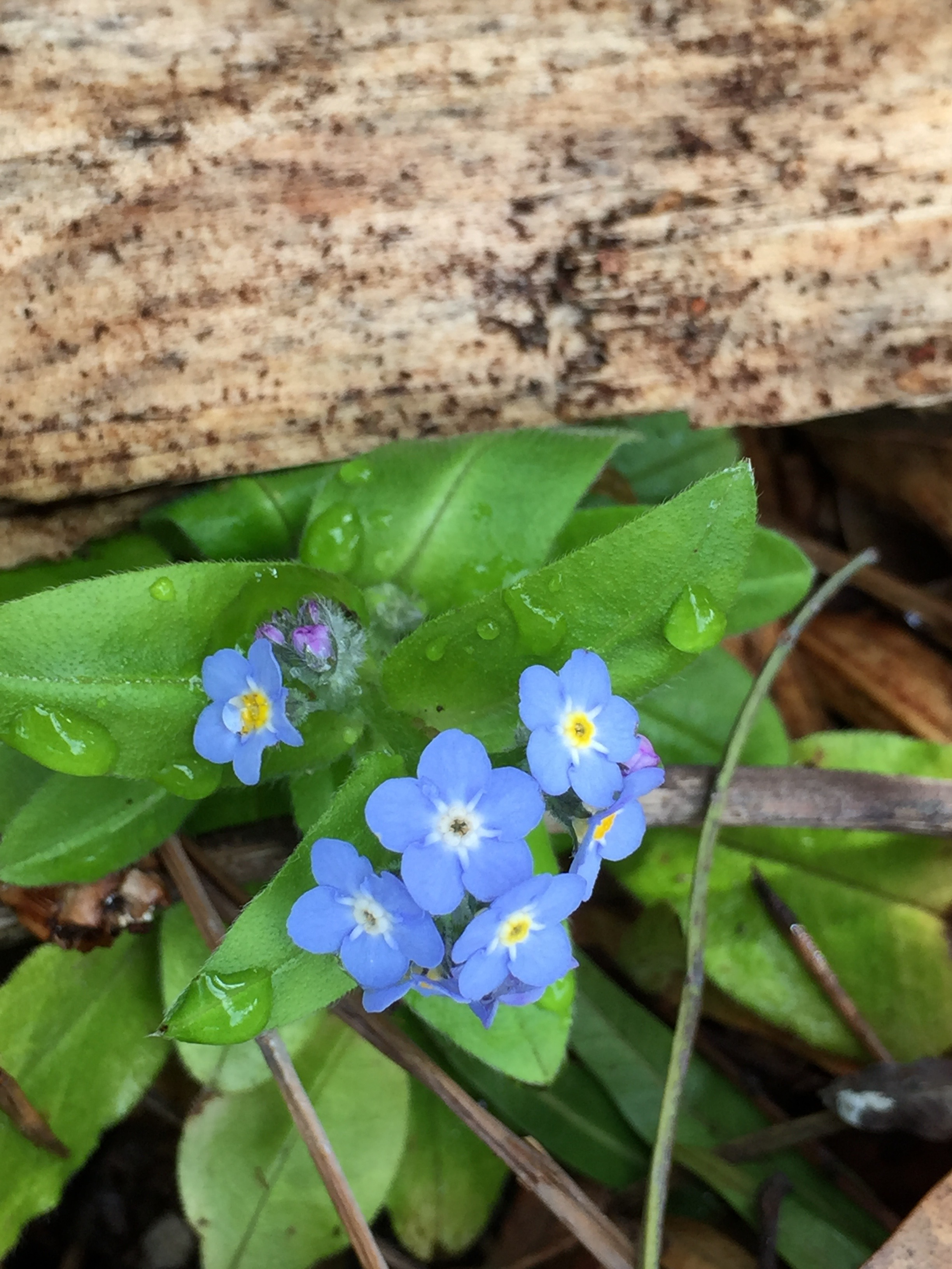 Tiny Forget-Me-Nots.