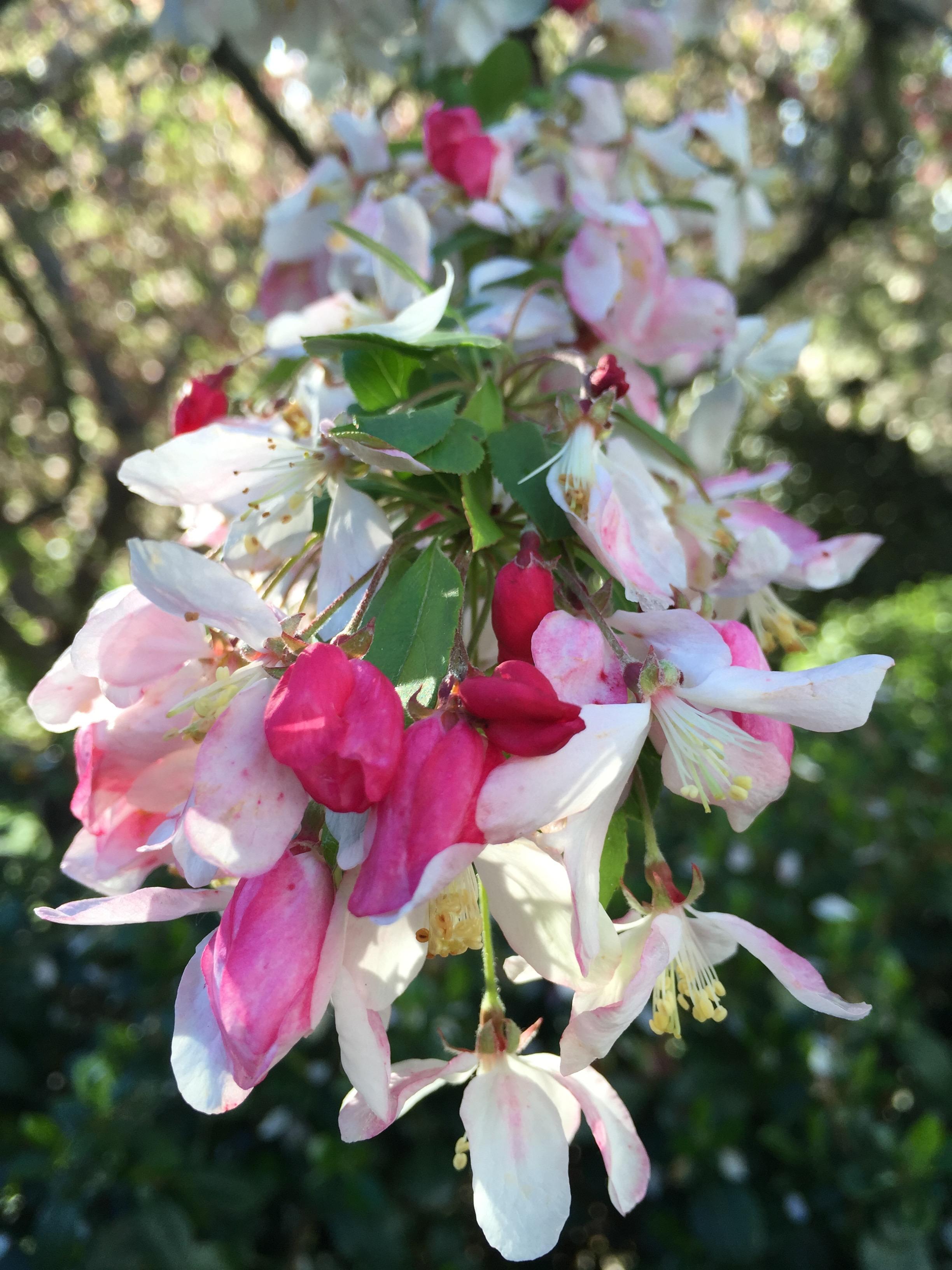 an ornamental apple tree in the farm's flower garden