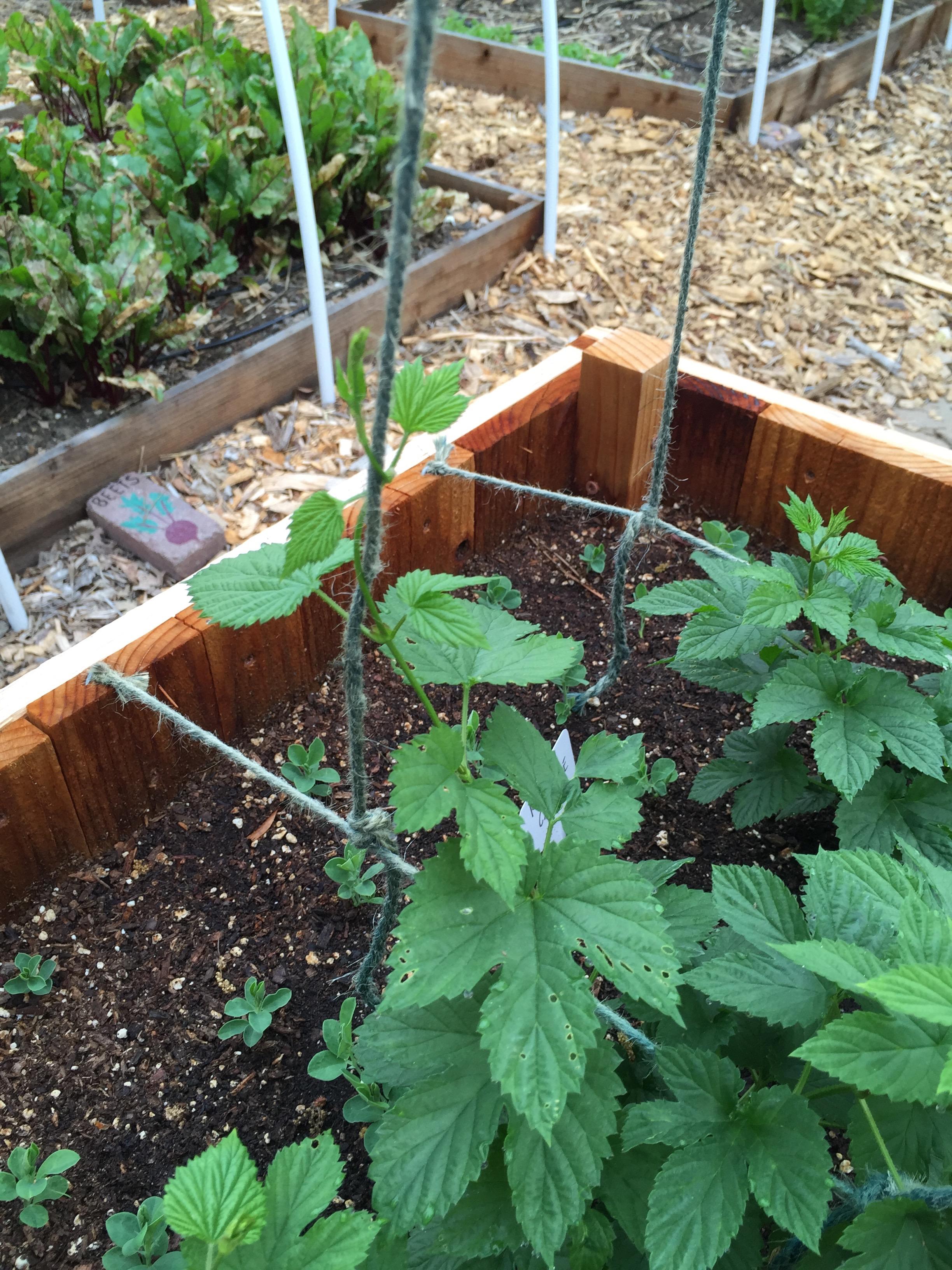 those little seedlings are sweet peas