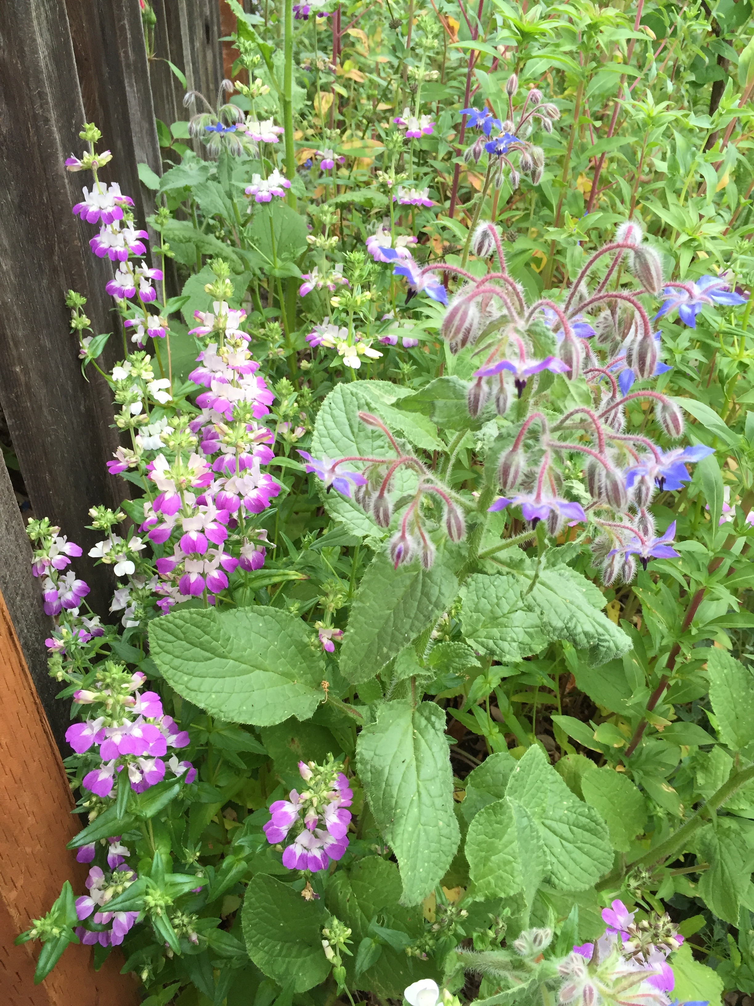 Chinese Houses and Borage