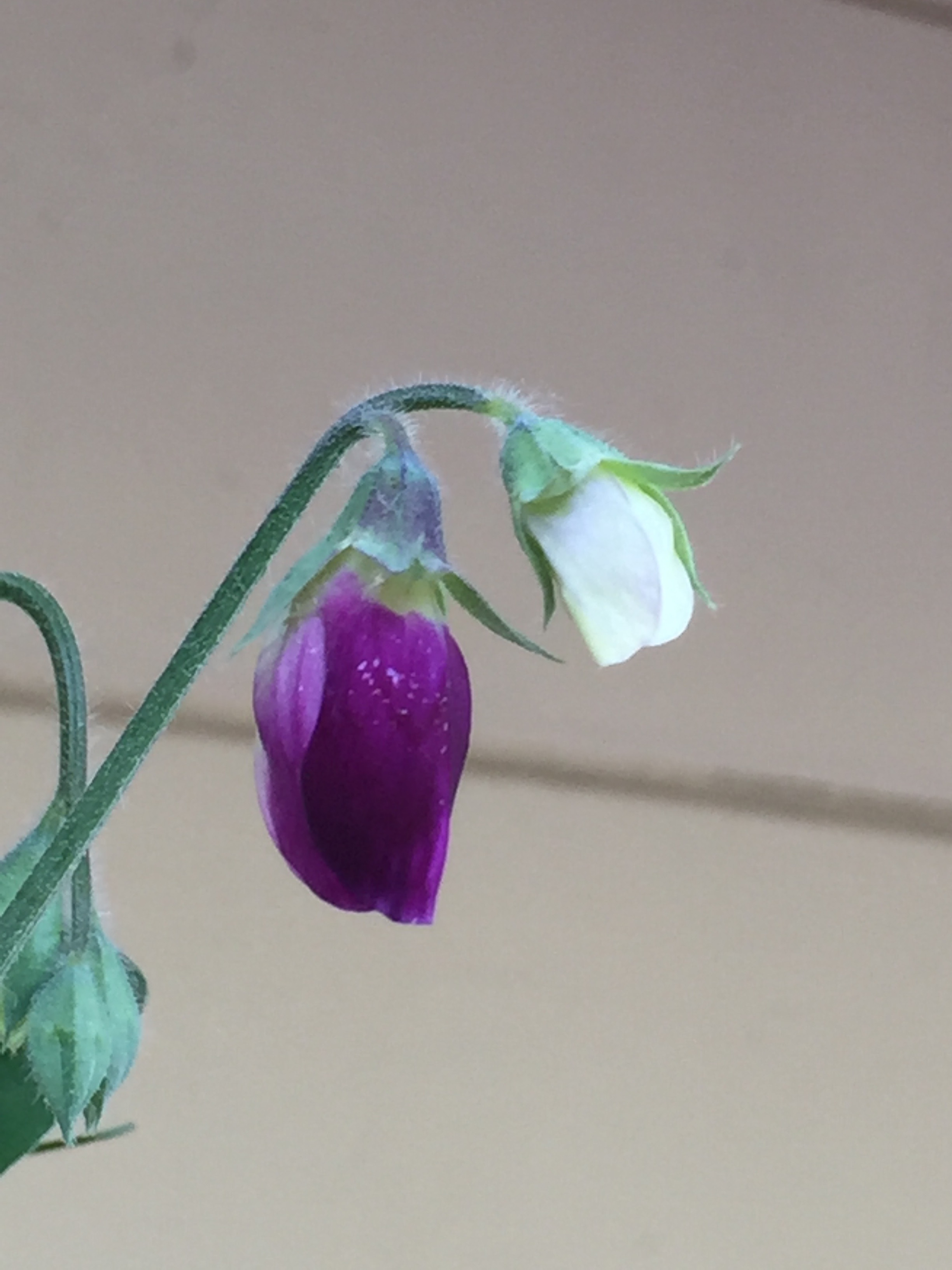 the first Sweet Pea