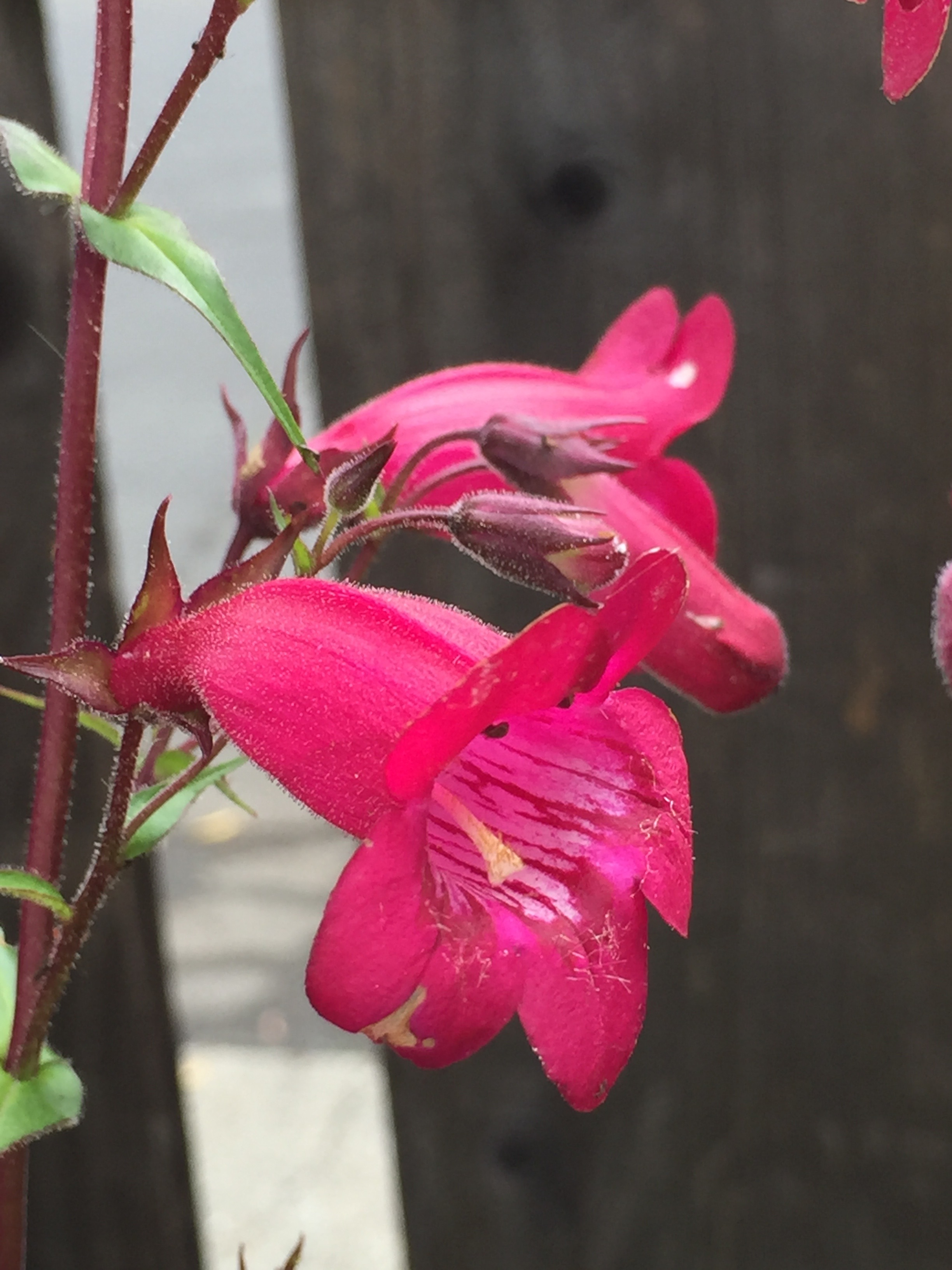 Penstemon against the fence