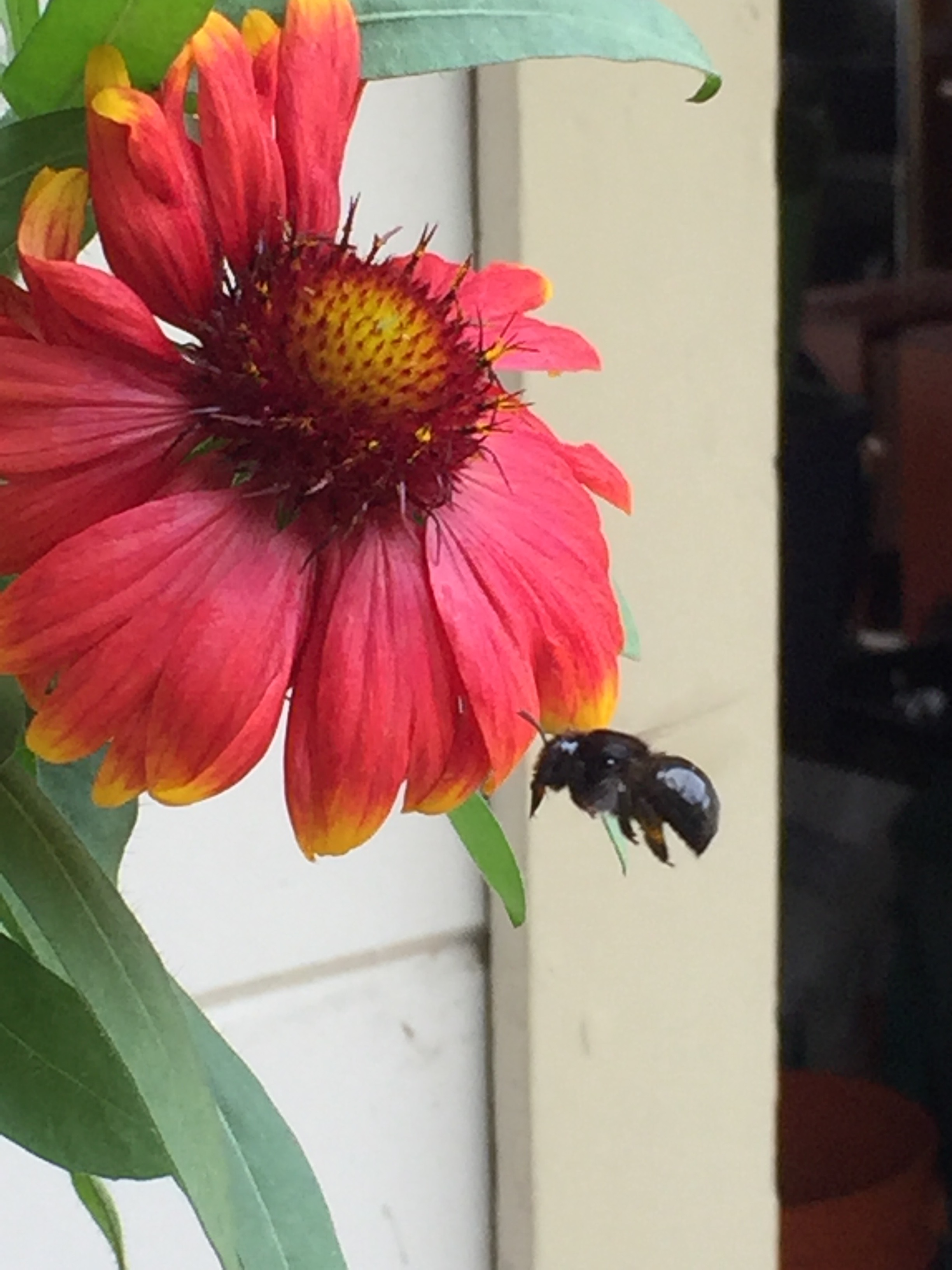 a Carpenter bee going in for a landing on a blanket flower (galliardia)