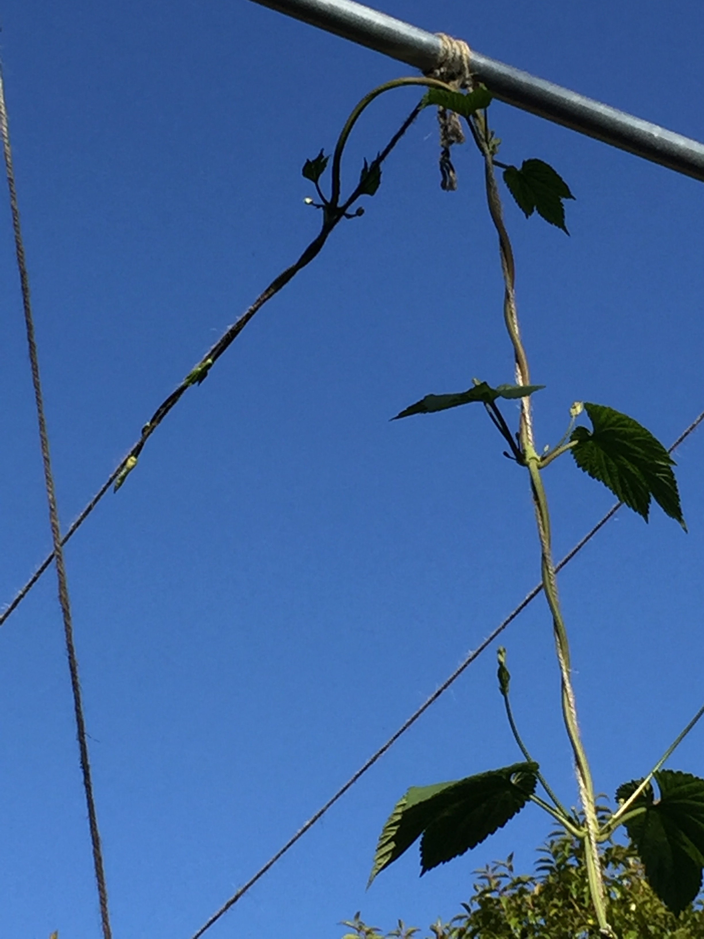 One of the hop bines has reached the top, and is now growing sideways (with a little instruction)