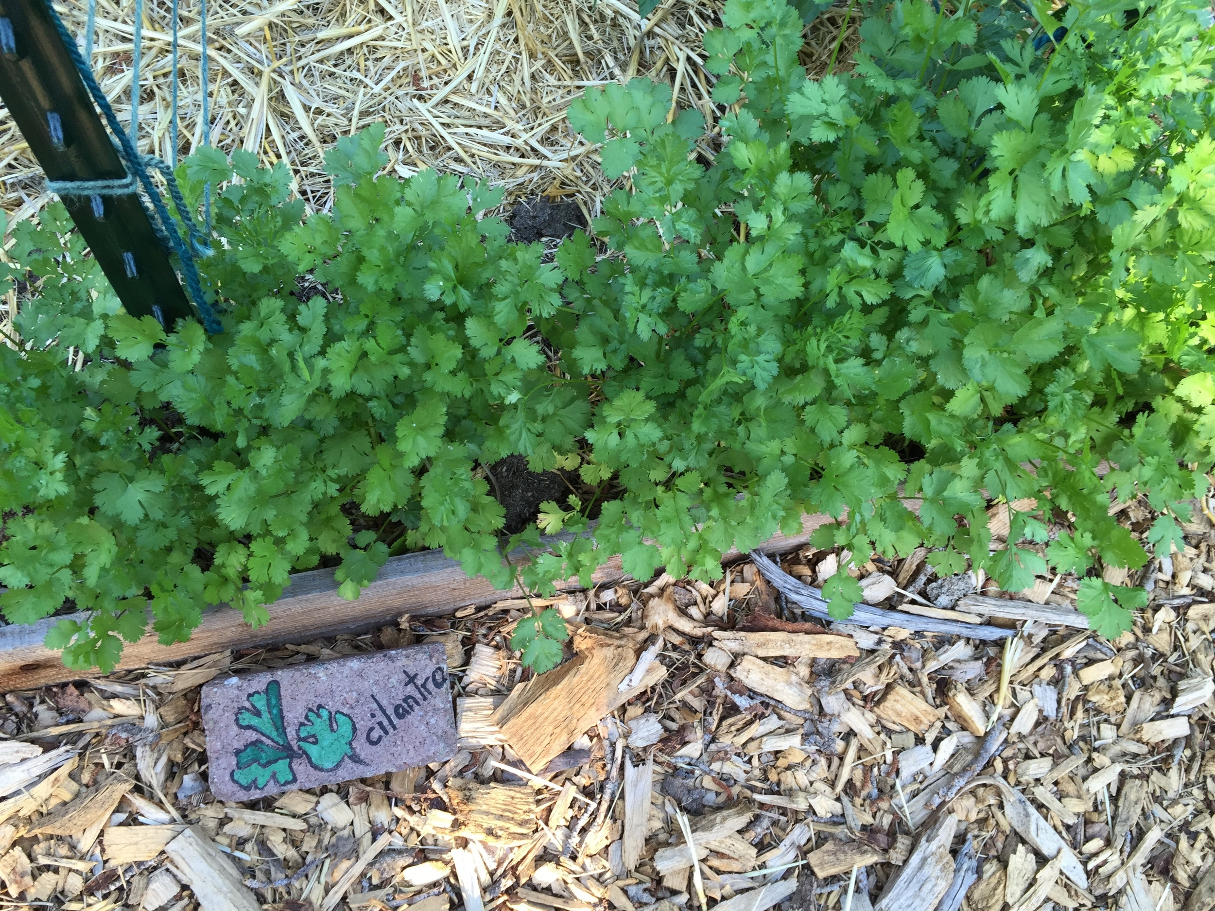 The first seeding of cilantro is ready for eating