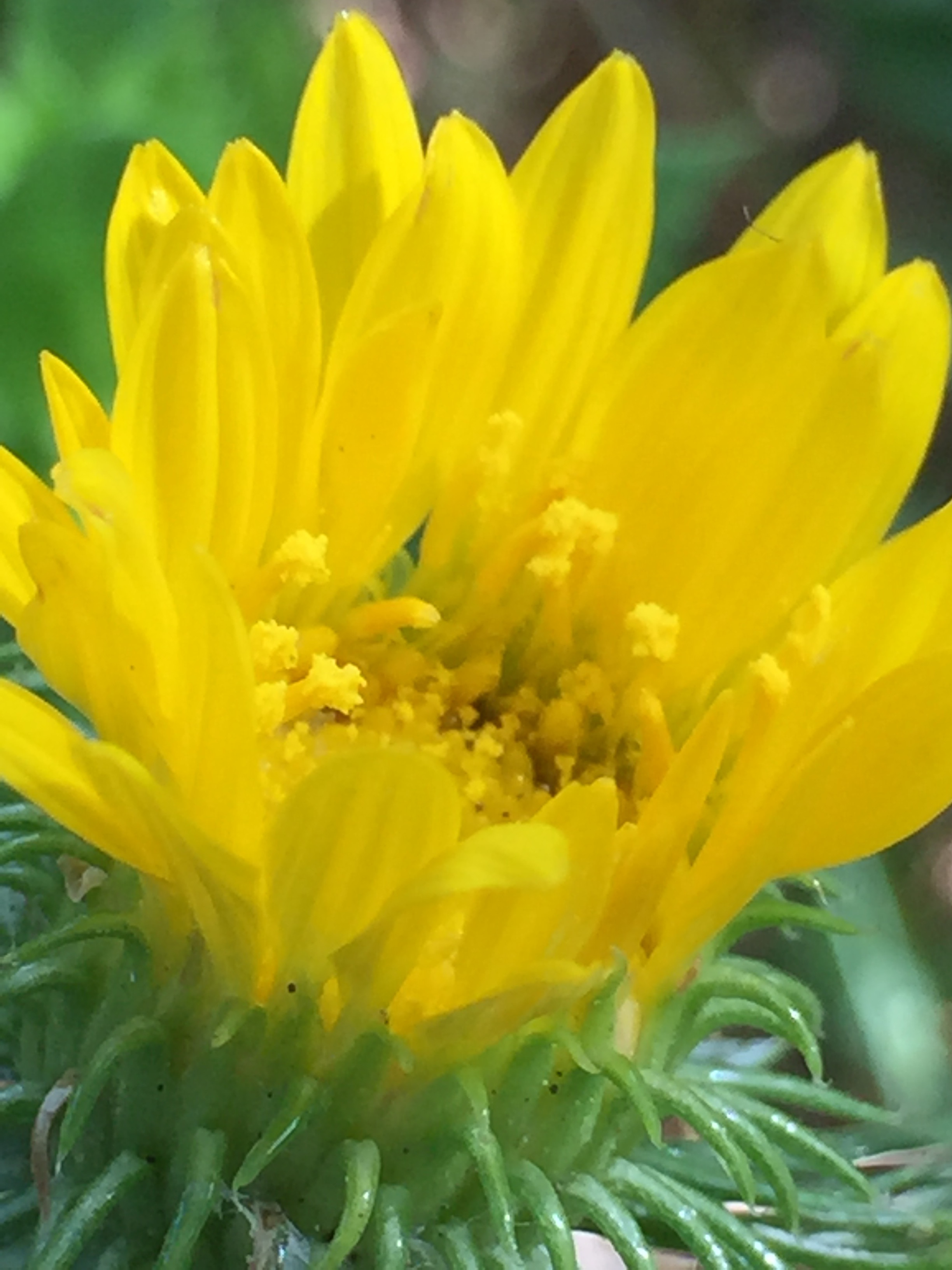 pollen grains in a California Sunflower
