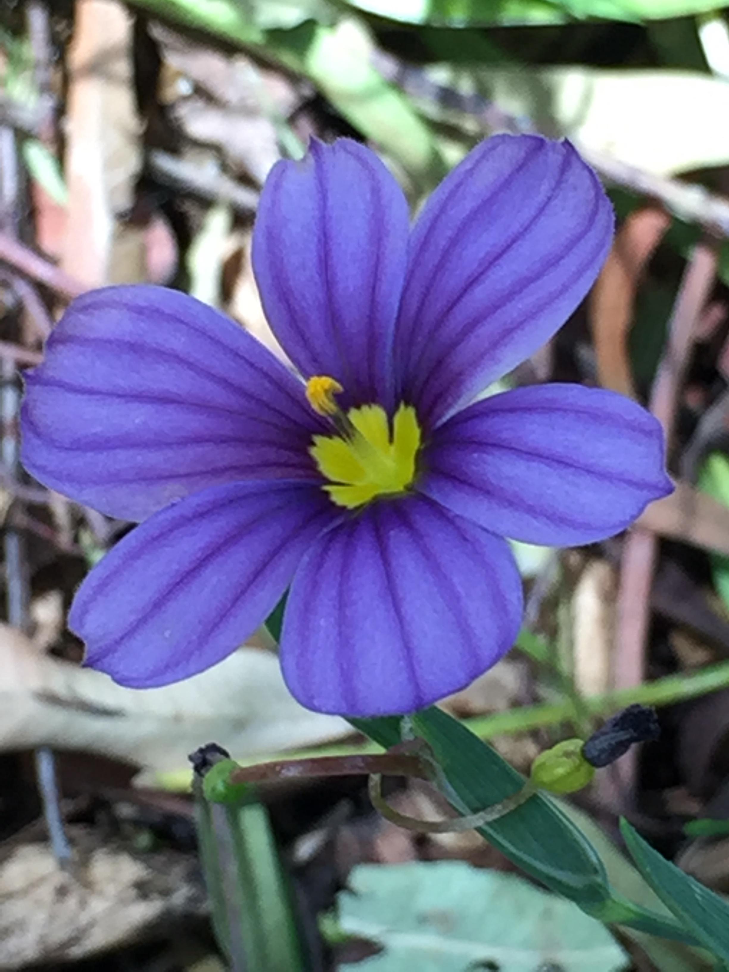 Blue-eyed grass, a CA native
