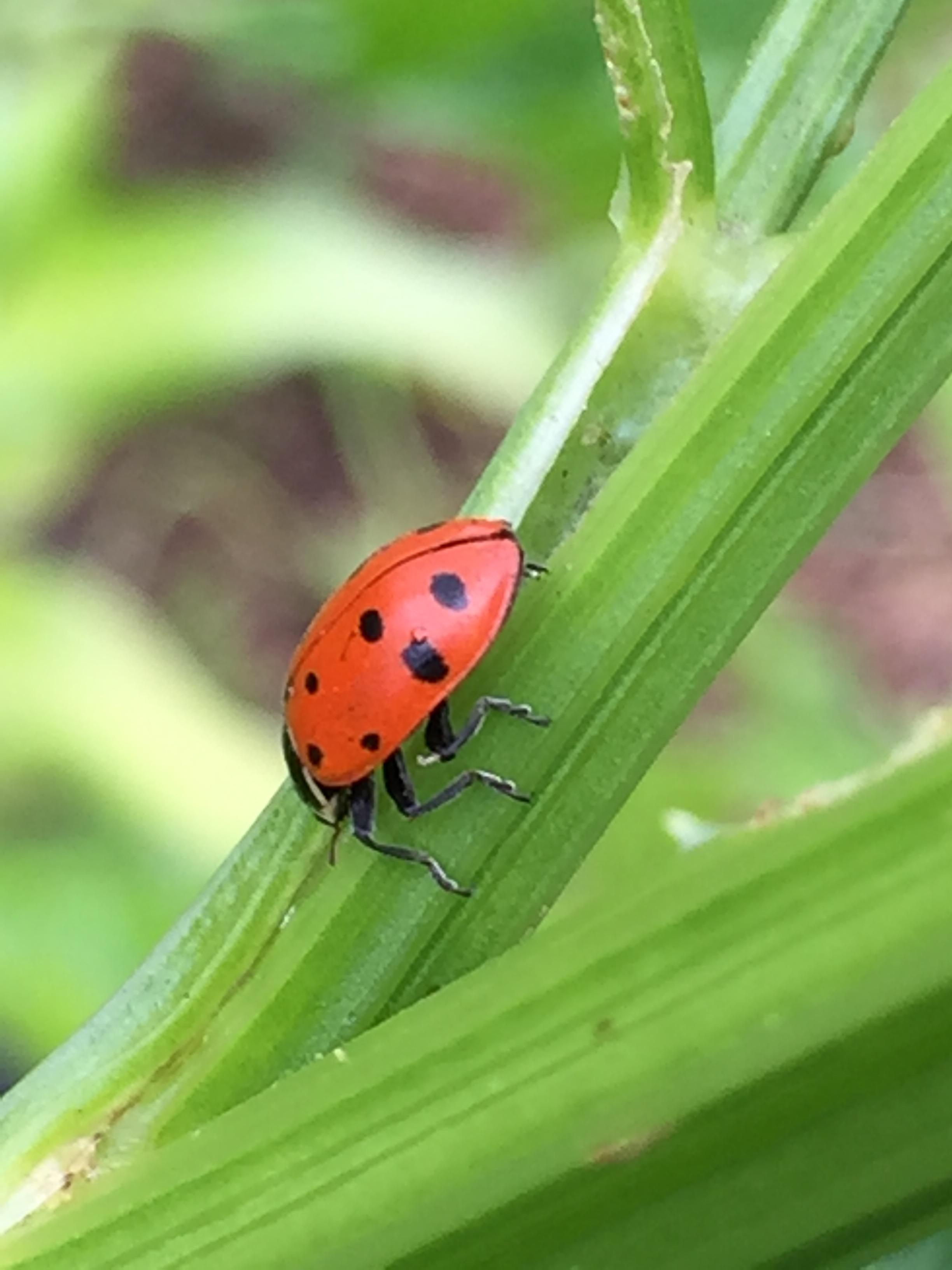 a ladybug on some celery at the Benicia Community Farm