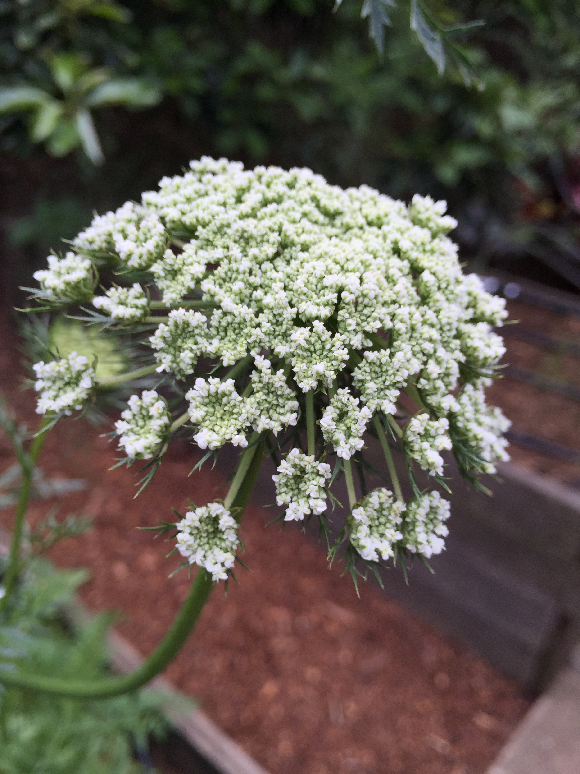 a carrot umbel at a private Benicia residence