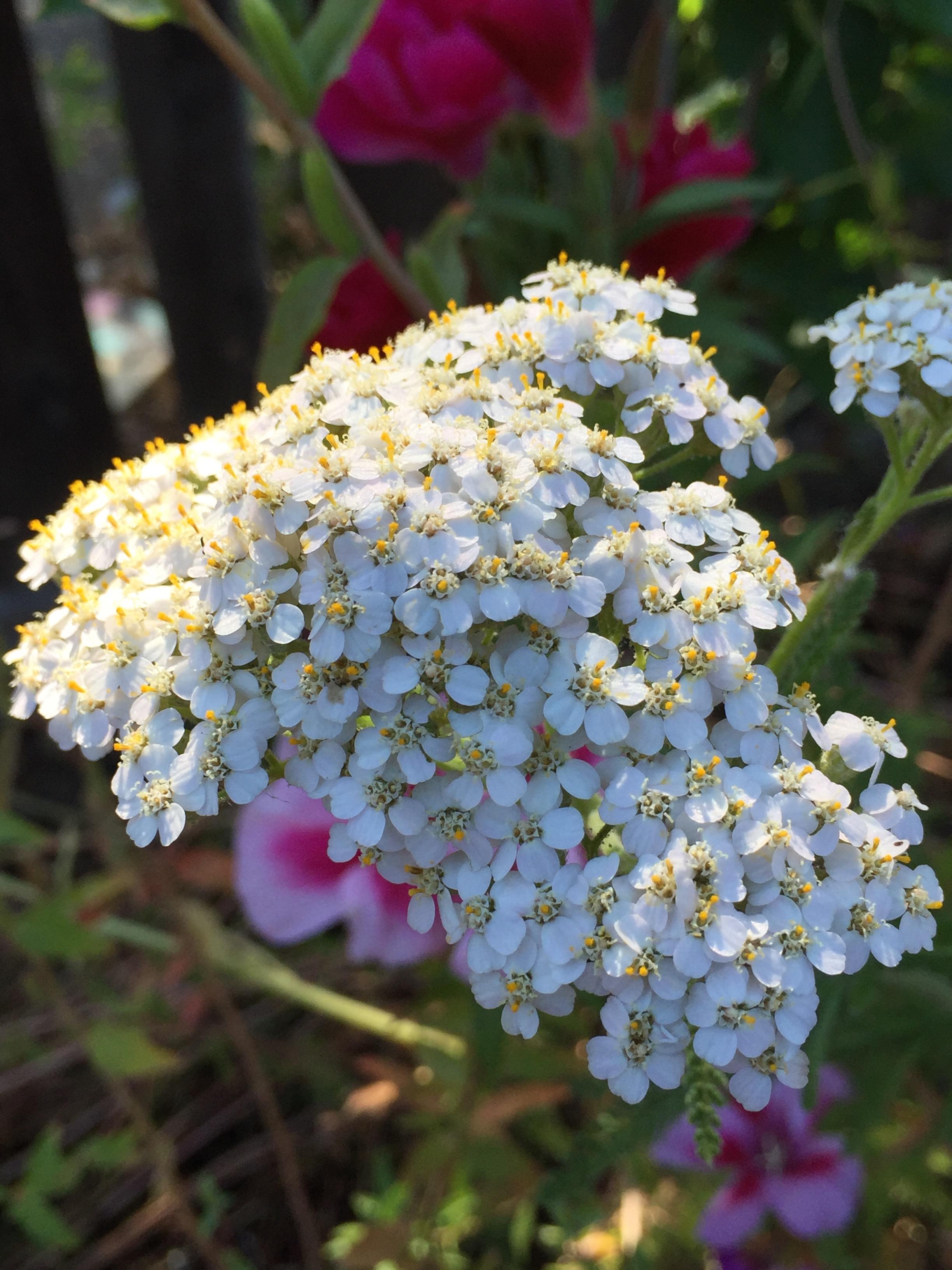 Pretty white Yarrow in the North Pollinator bed.