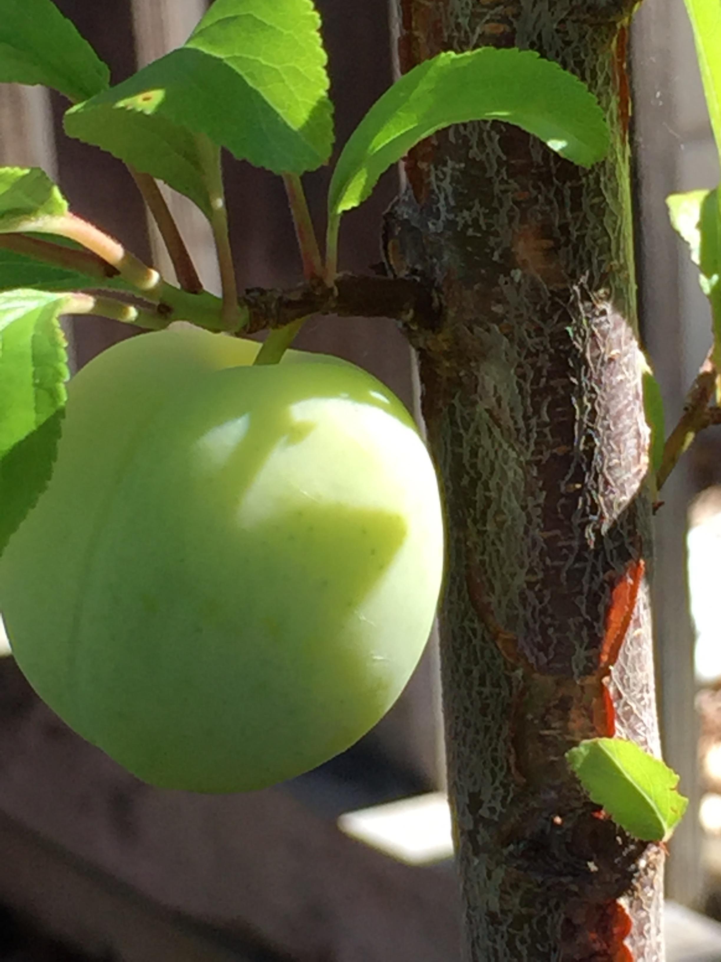 Santa Rosa plum.
