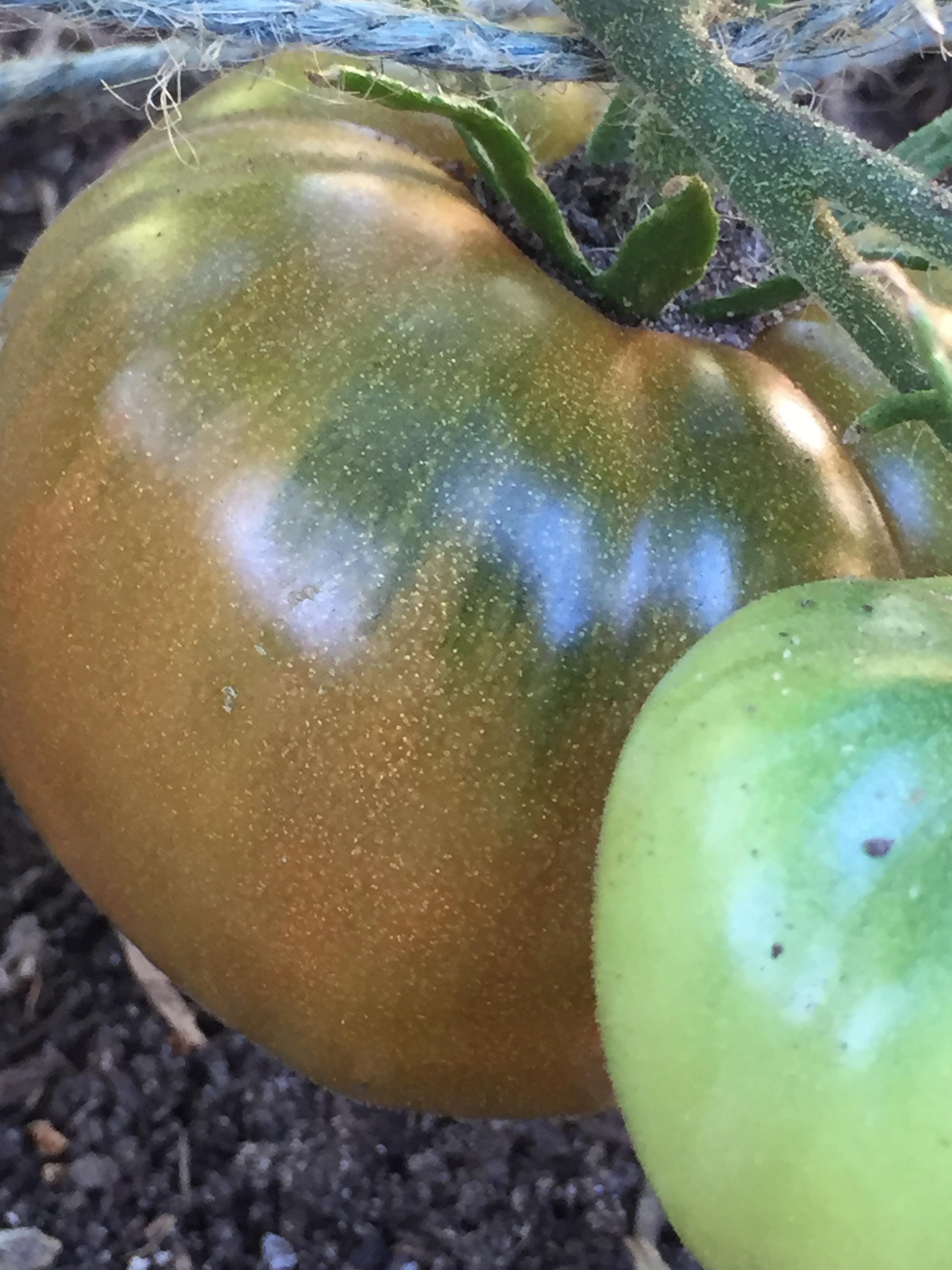 'Cherokee Purple' tomato