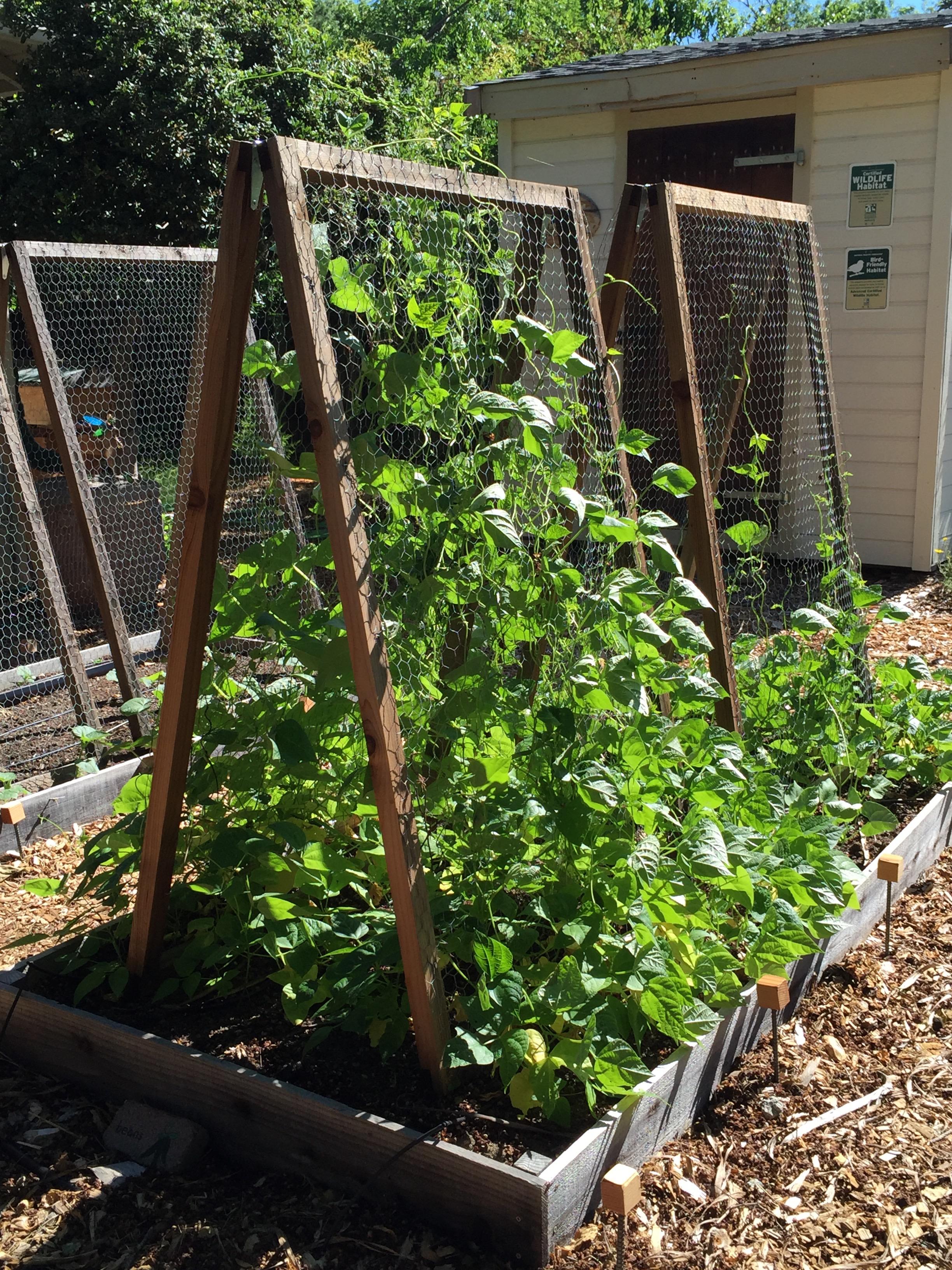 'Missouri Wonder' pole bean, first planting