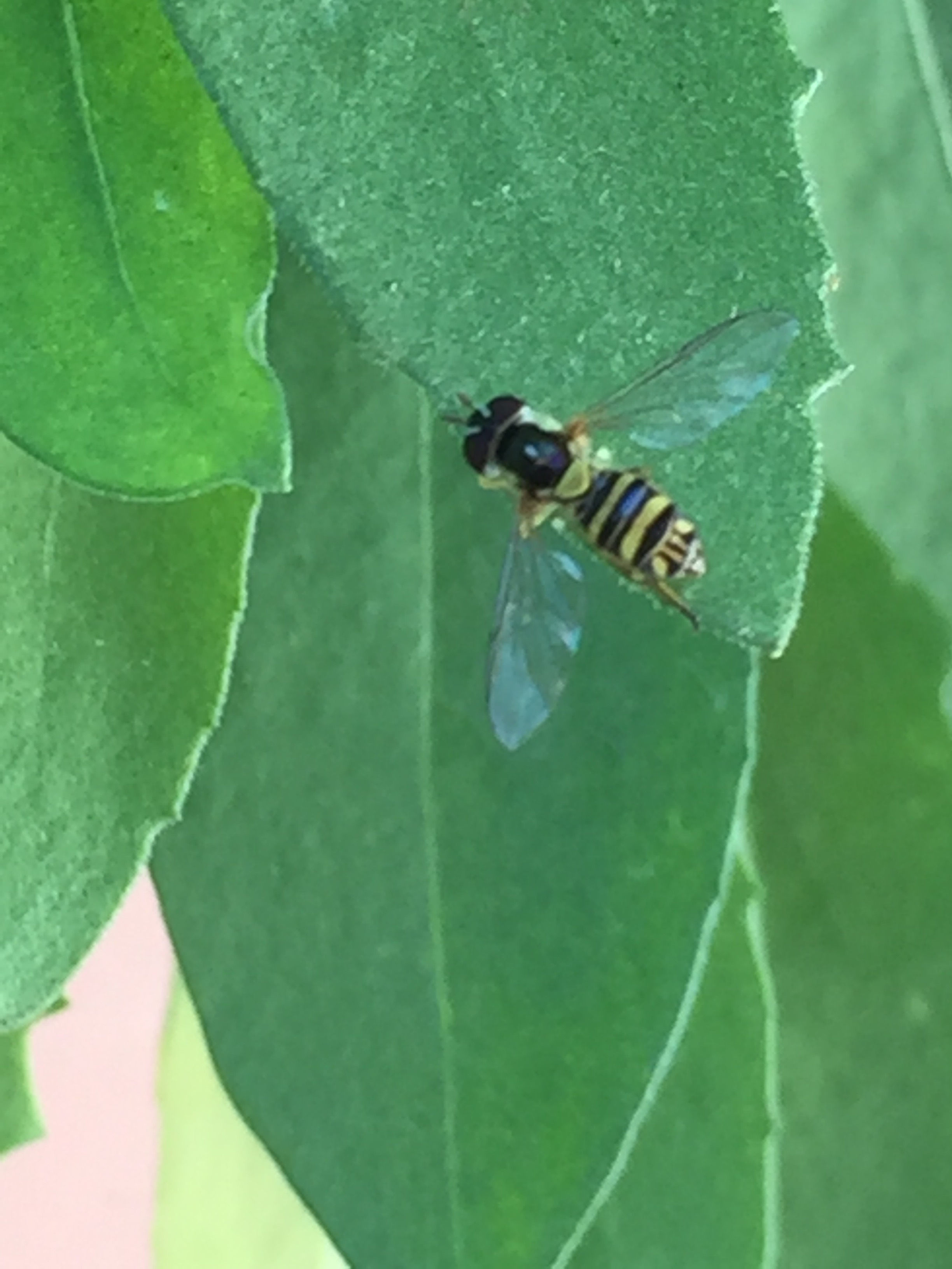 I can't figure out what this is, I think it might be a cuckoo bee
