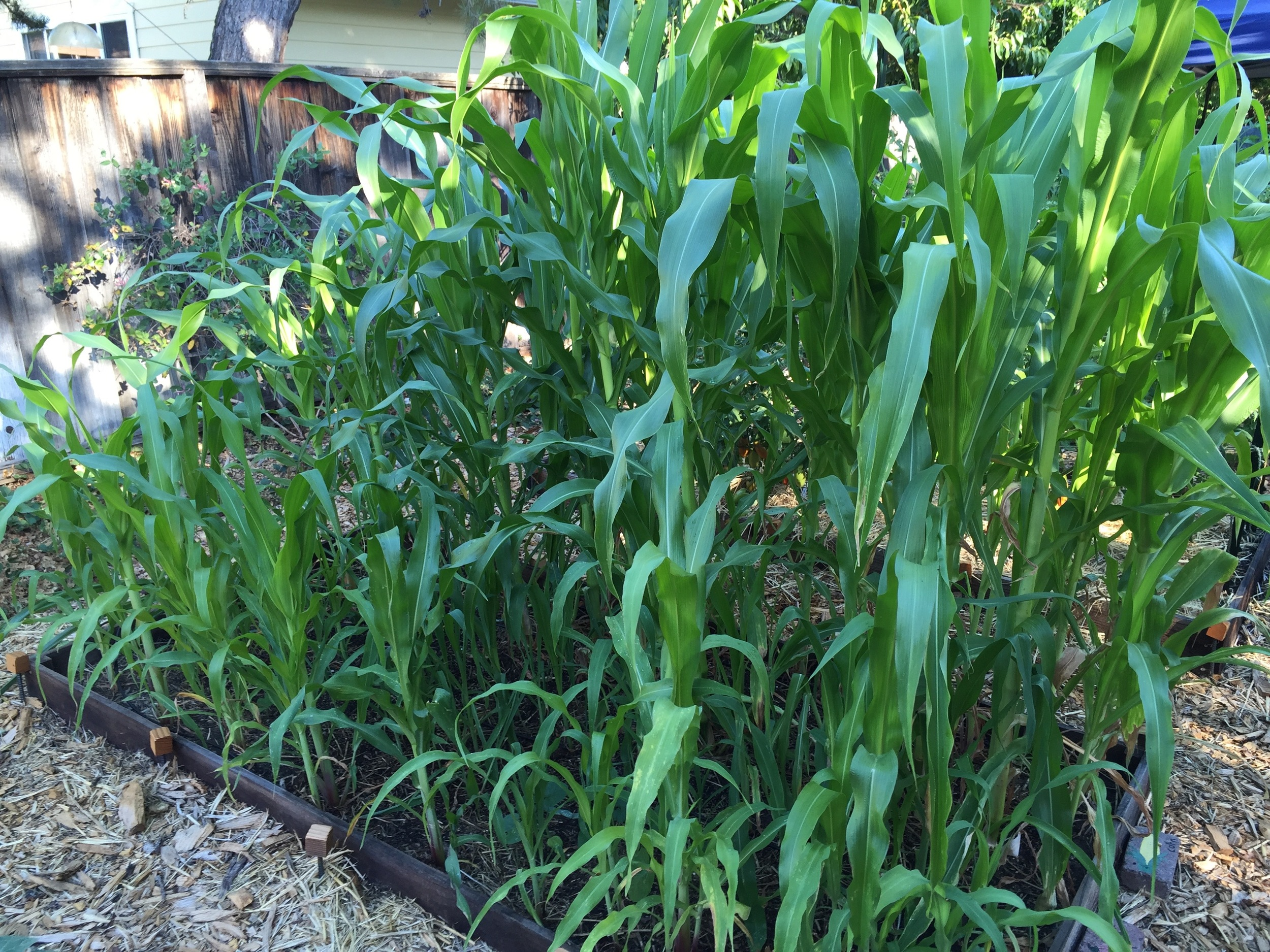 succession plantings