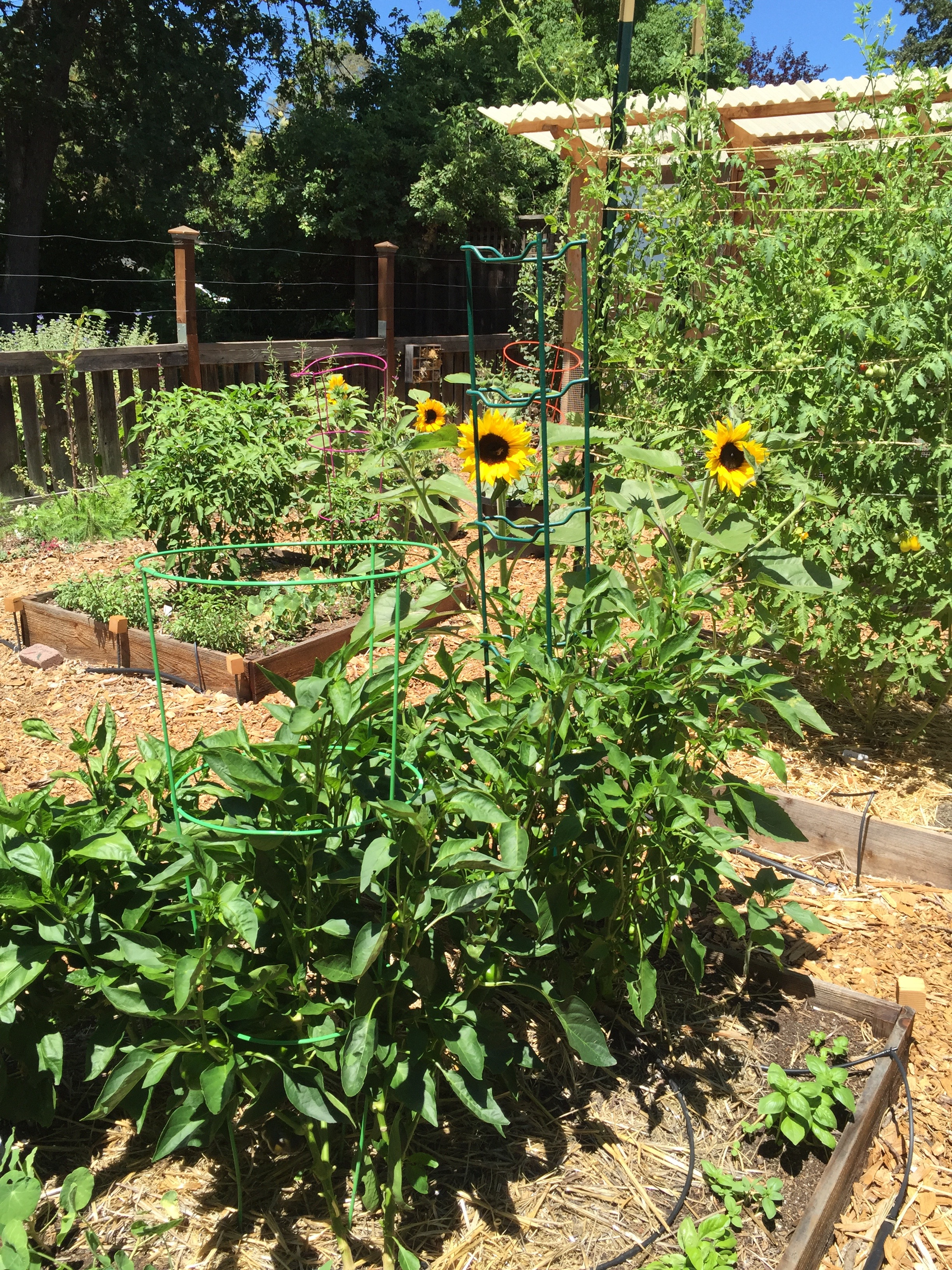 sweet pepper bed with basil and sunflowers
