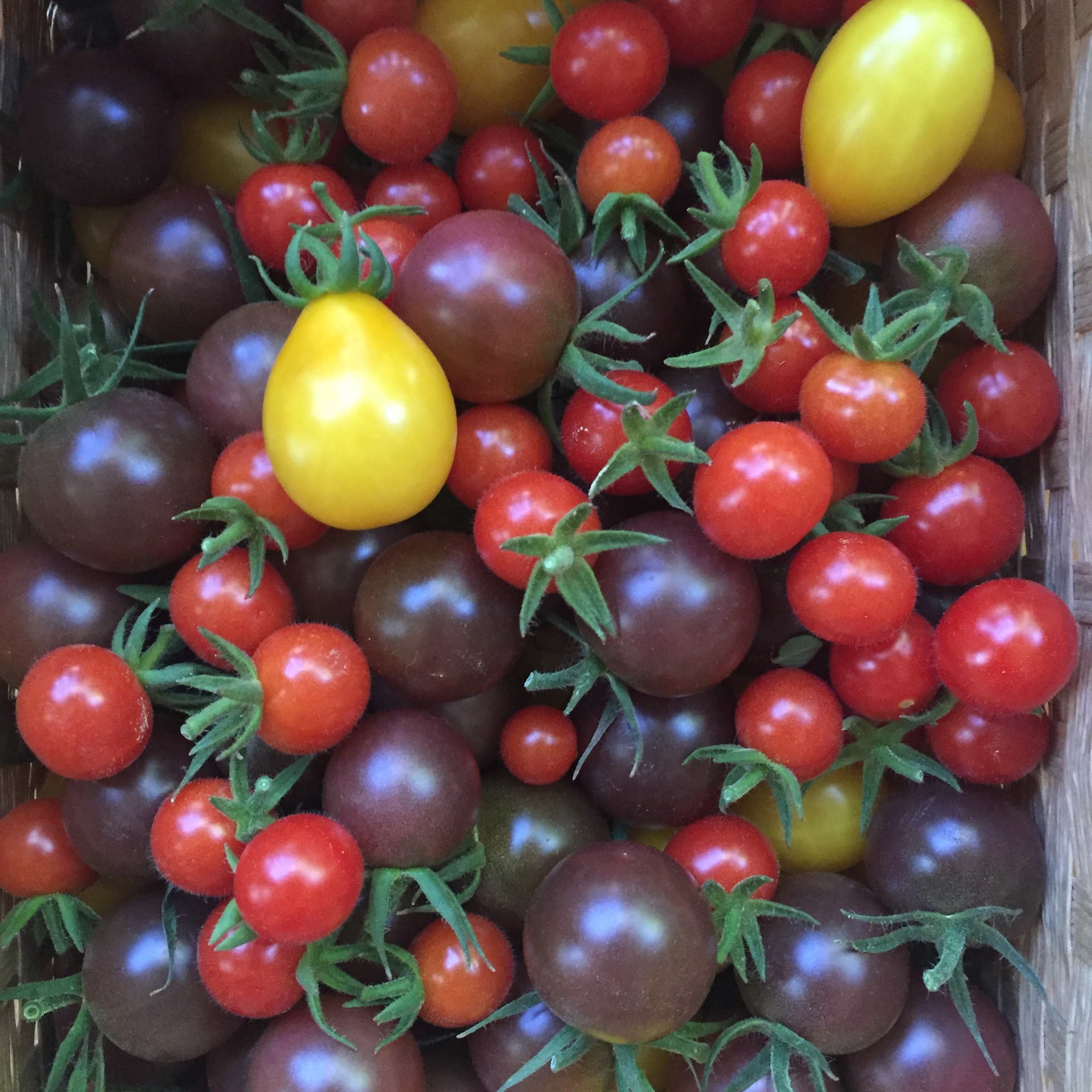 a basket of cherry tomatoes; Mexico Midget, Black Cherry, and Yellow Pear