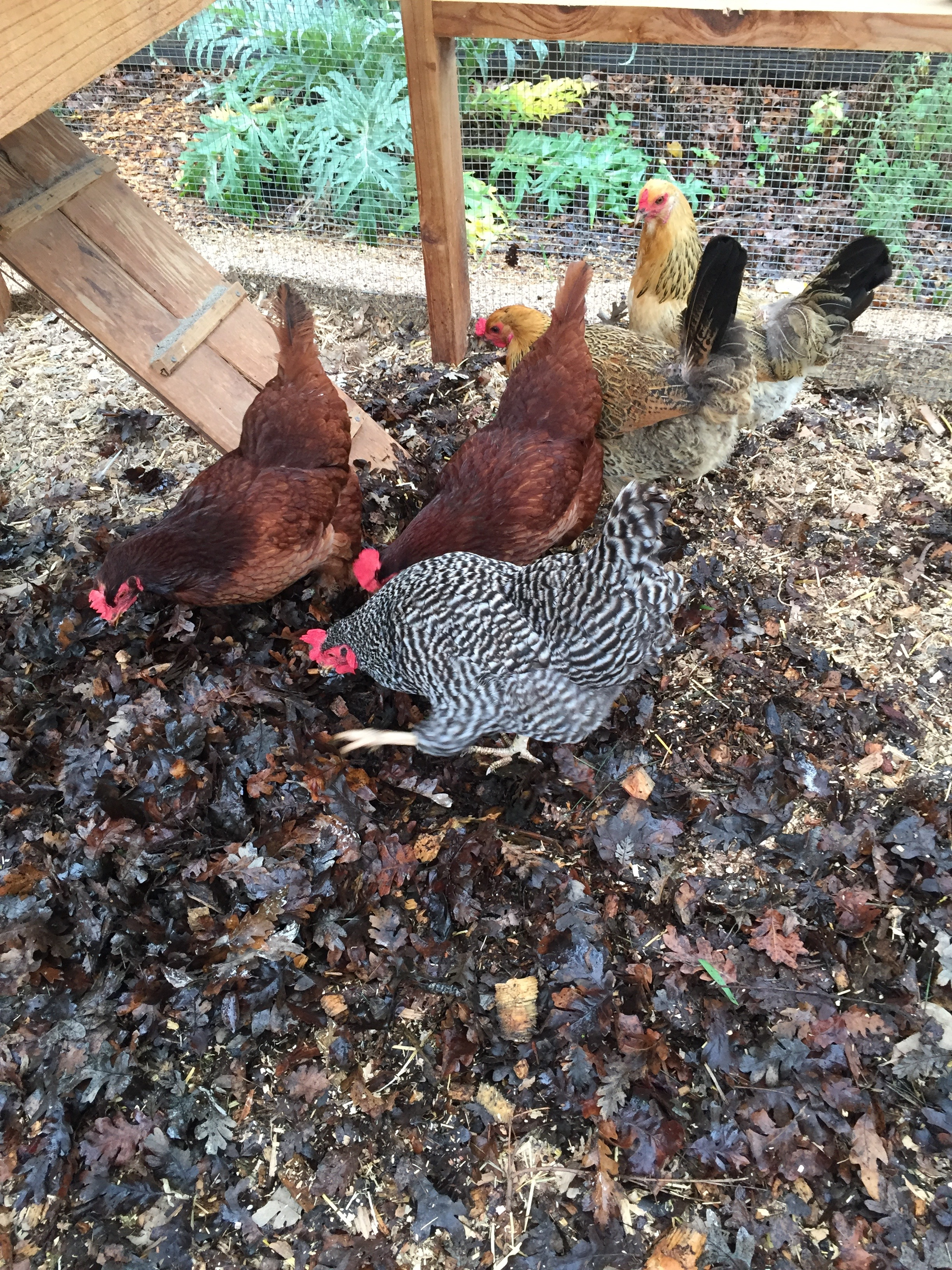 The chickens last spring, searching for bugs in a pile of leaves I brought in