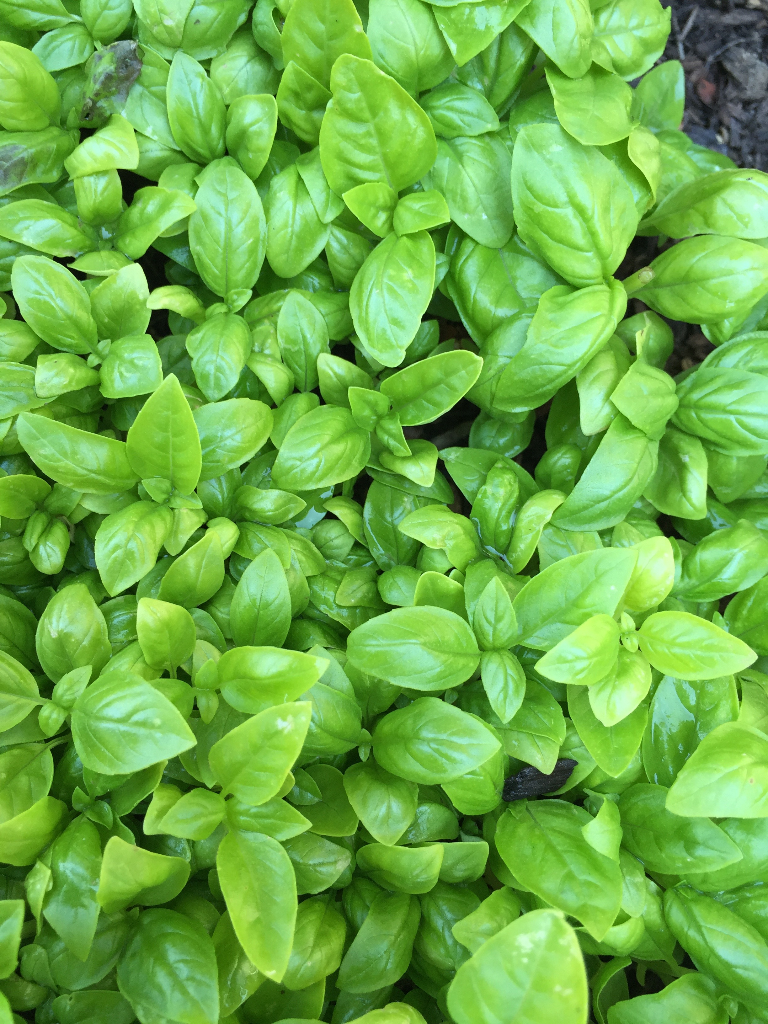 one of many basil plantings in the yard
