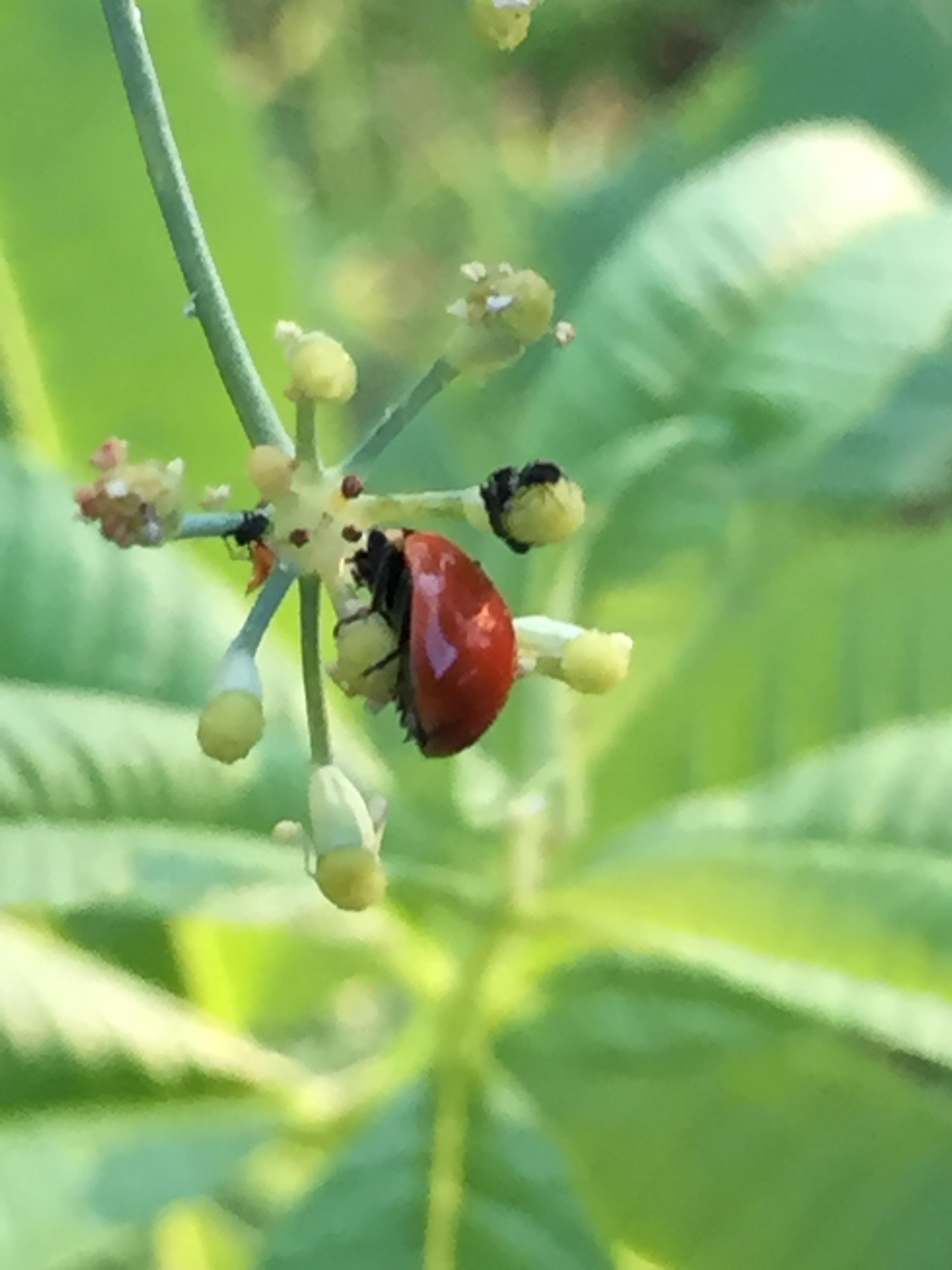 Ladybug eating aphids on fennel blossom