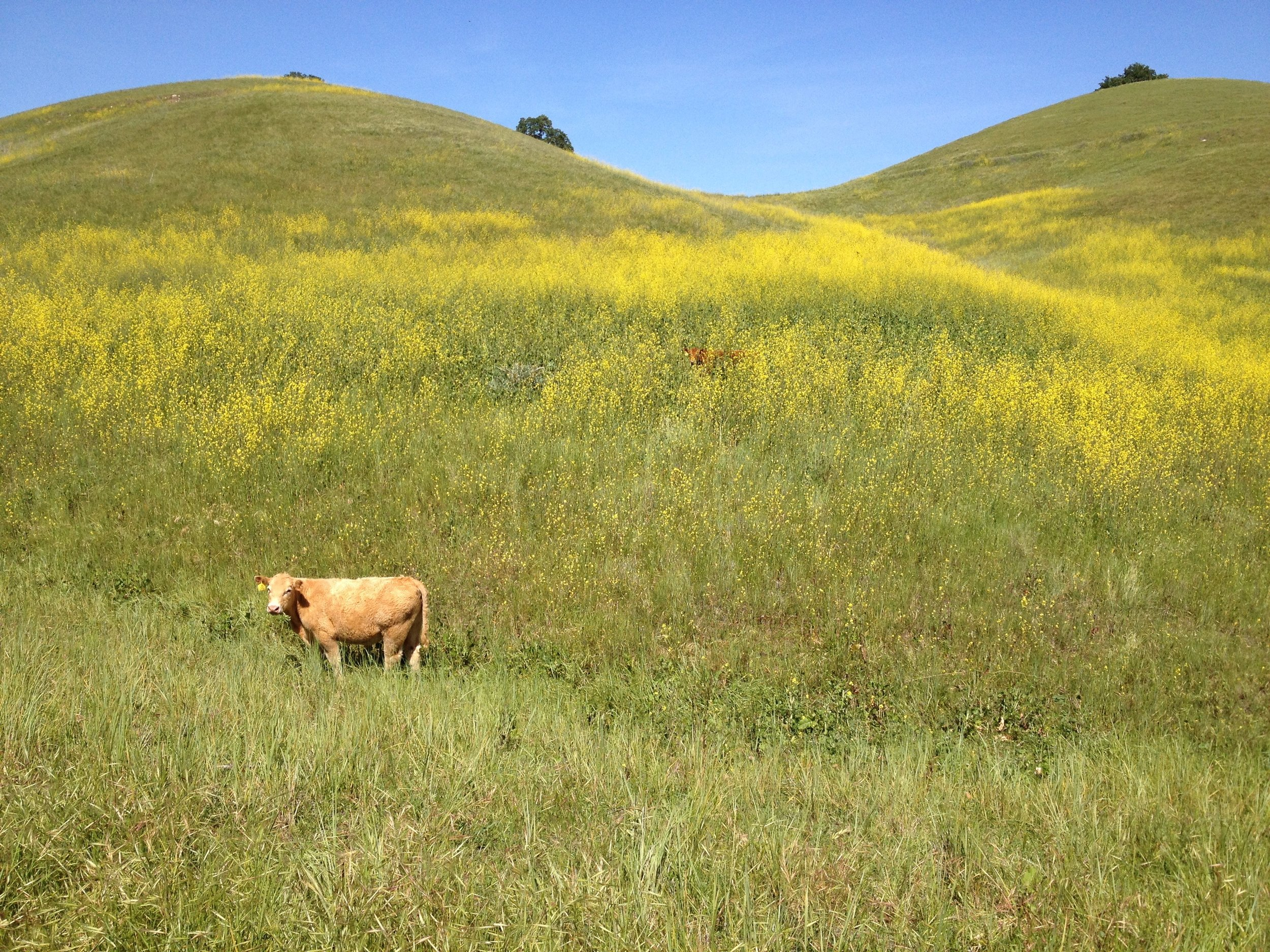 Cows in wild mustard, Shell Ridge open space, 2015