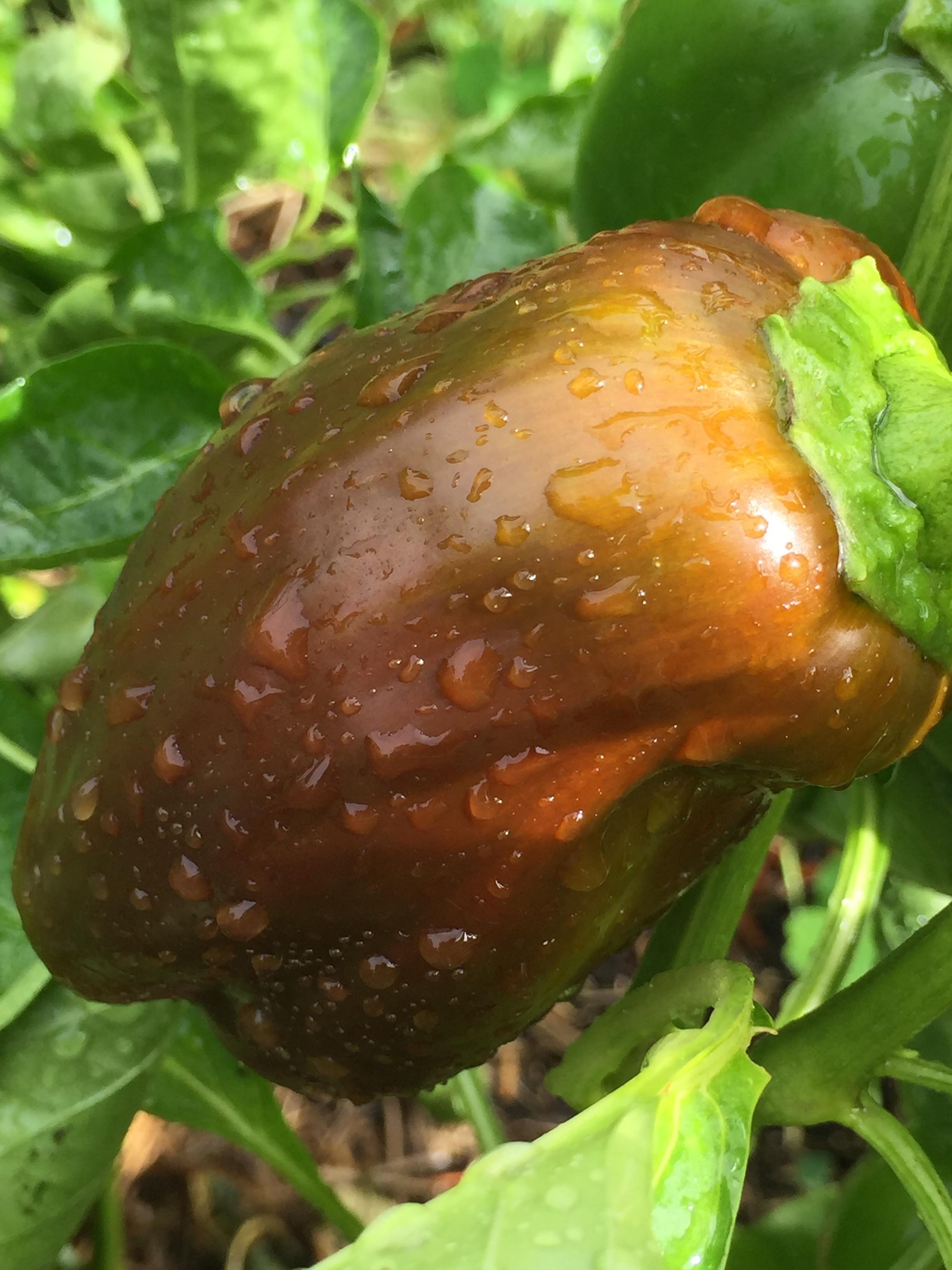 'Chocolate Bell' pepper