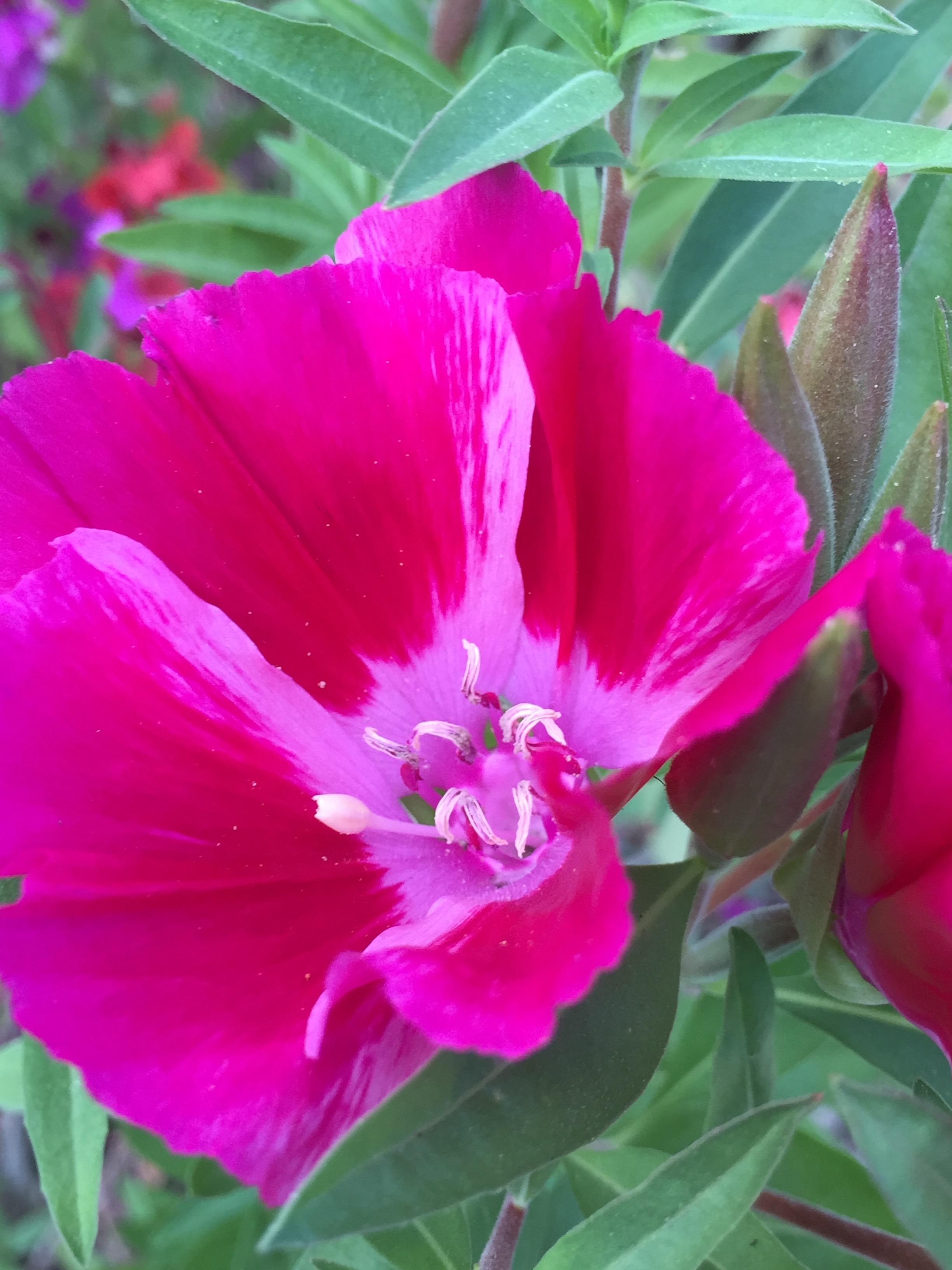 Clarkia 'Farewell to Spring'