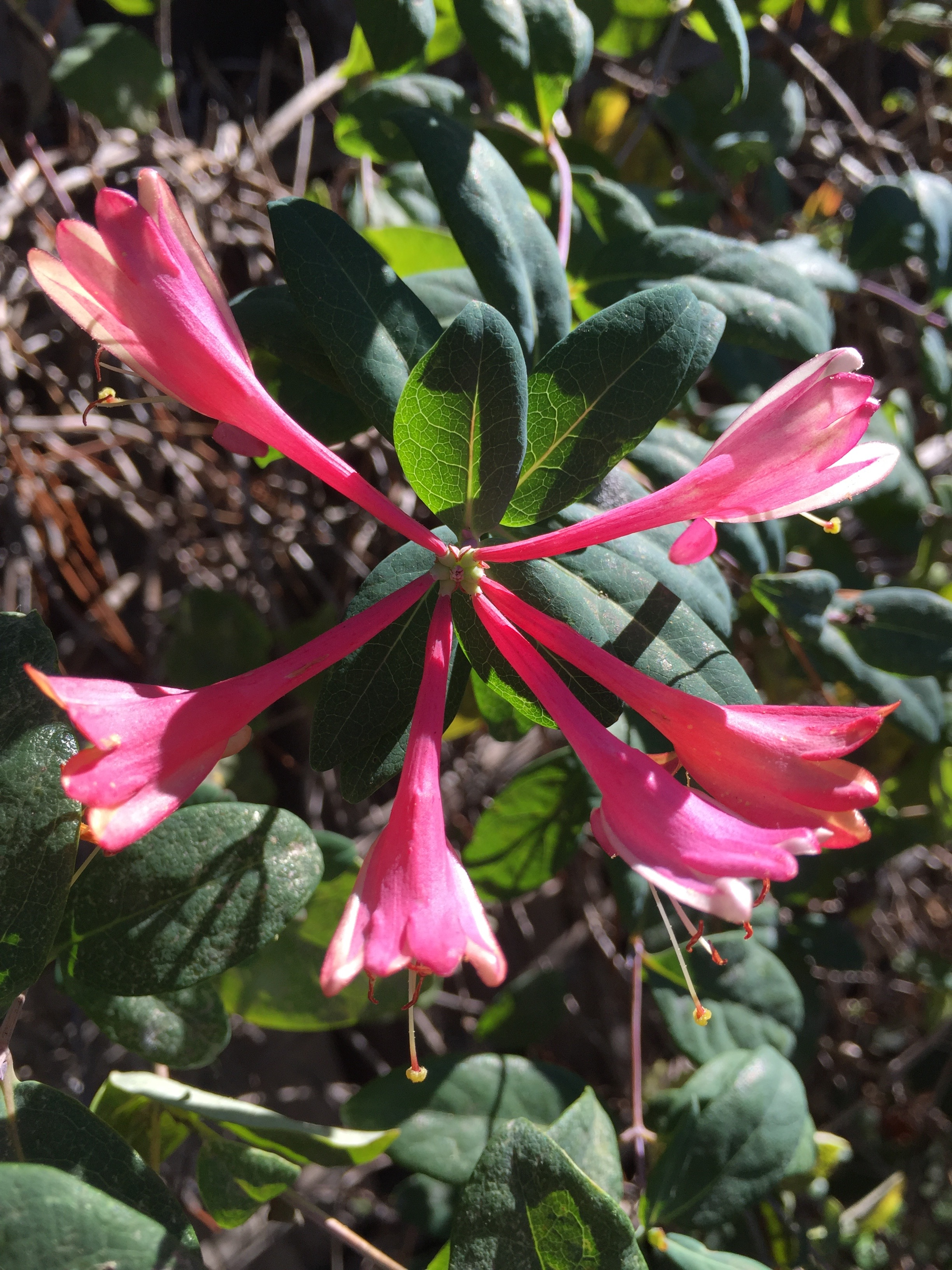 California Honeysuckle