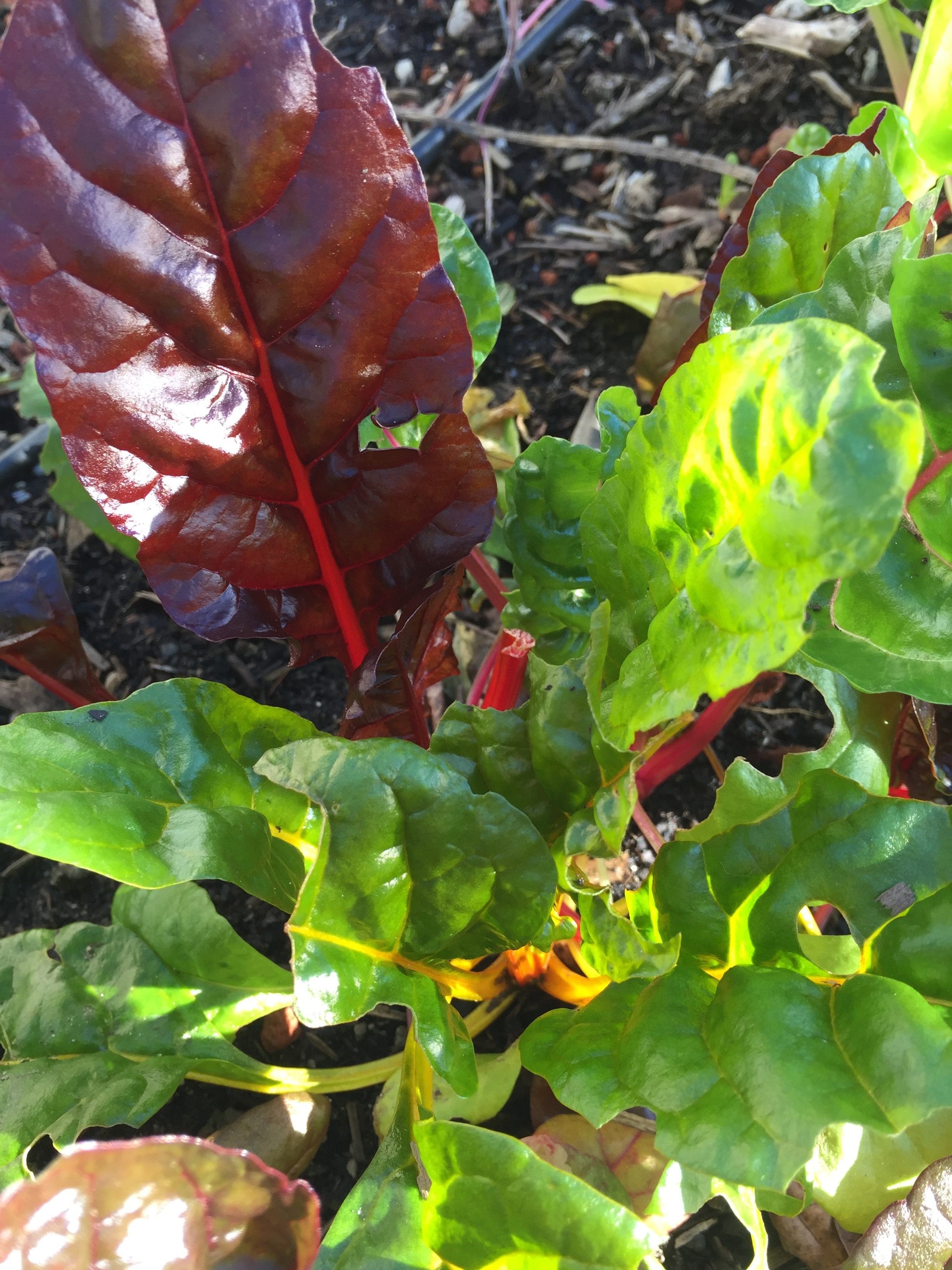 Swiss Chard in the South Garden