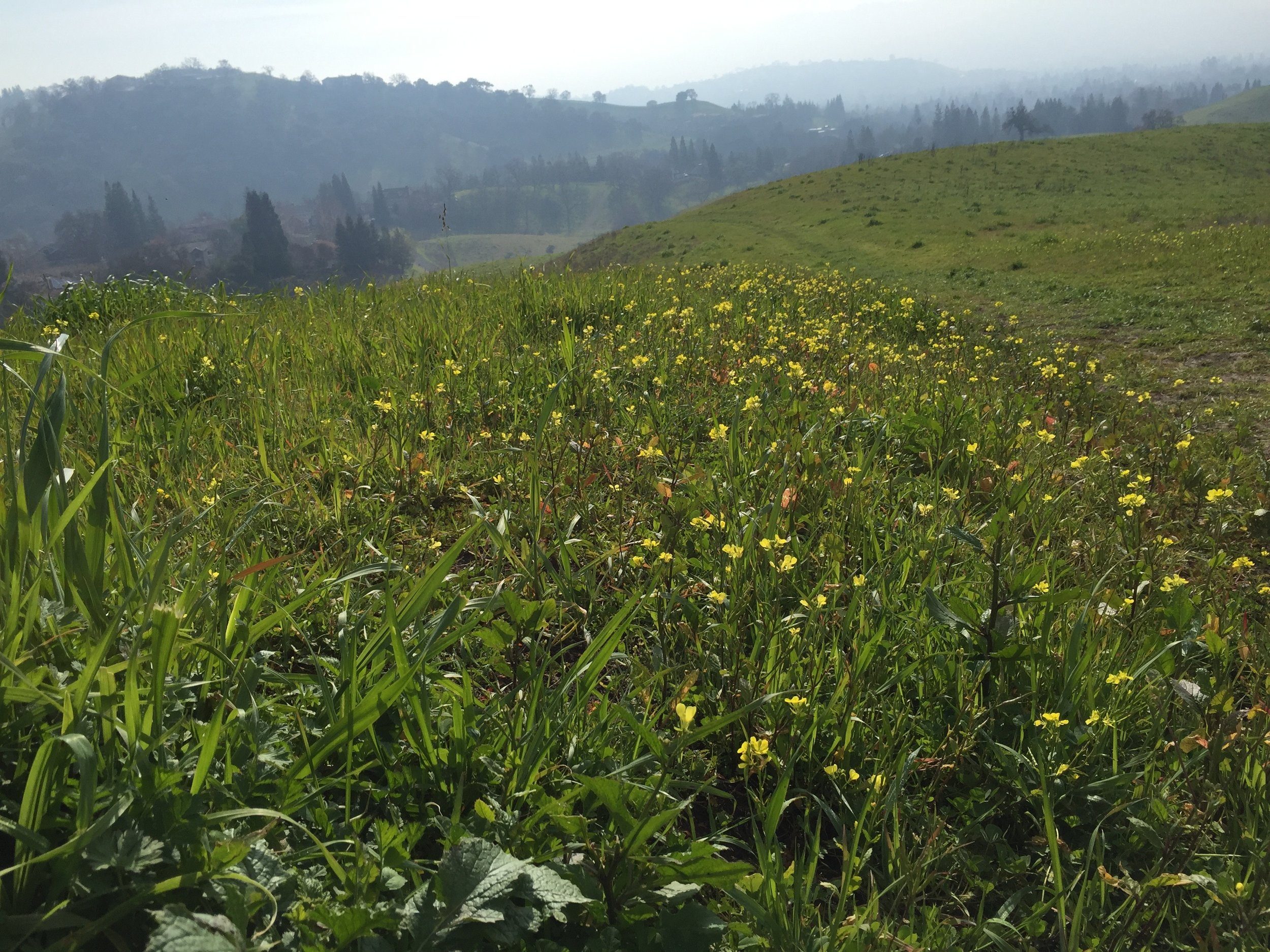 Wild mustard ( Brassica)  in the hills near my house