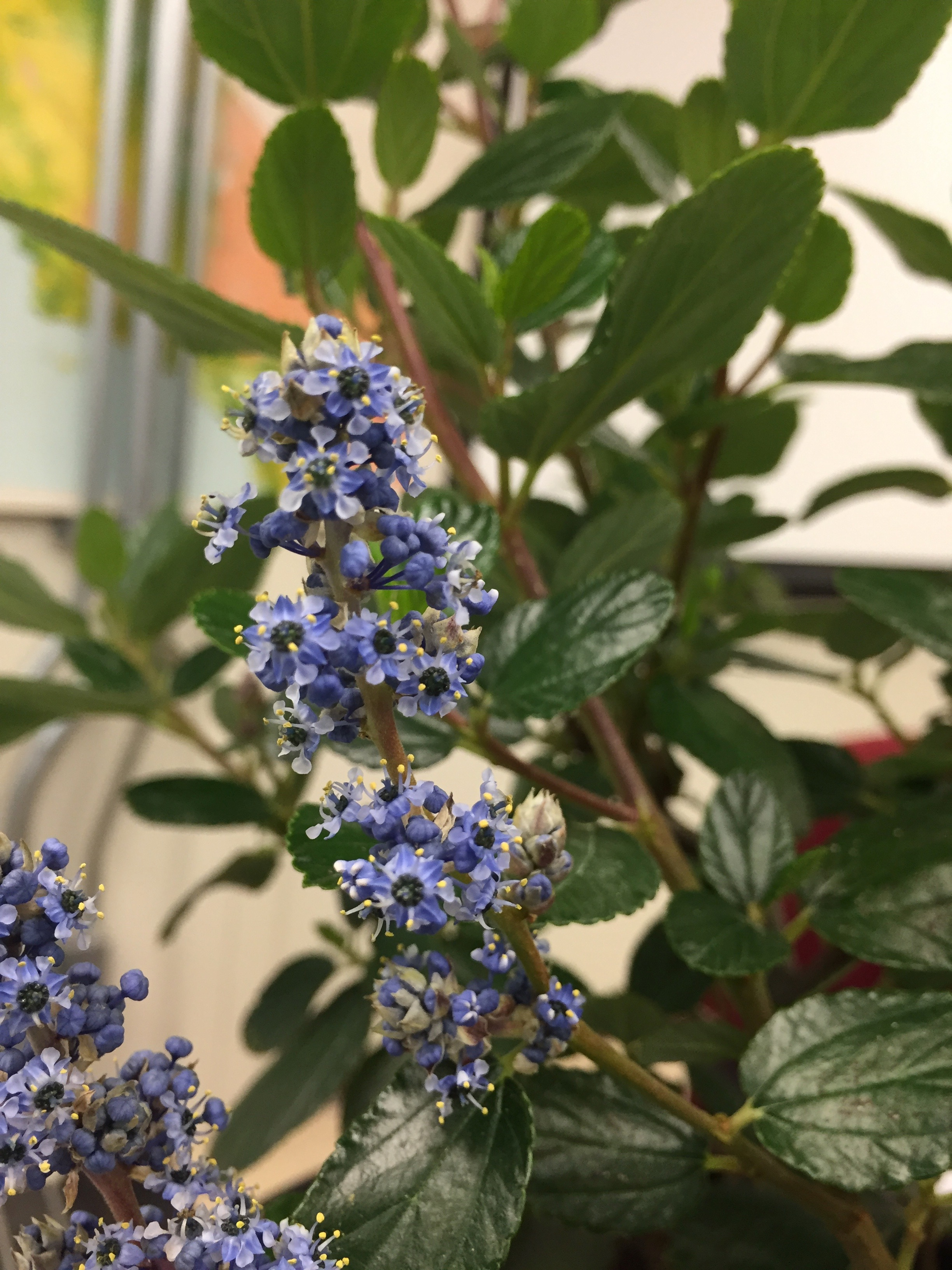 Ceanothus arboreus  'Cliff Schmidt' in class yesterday