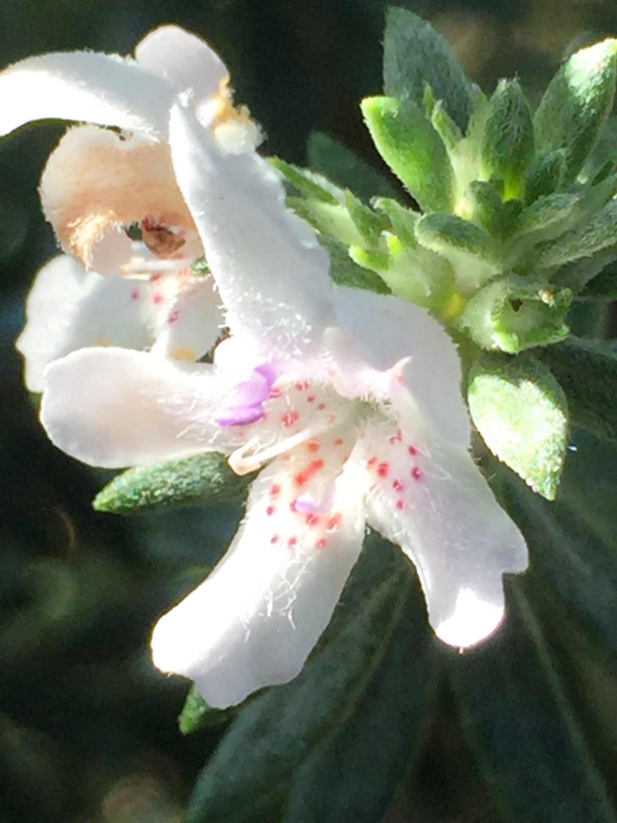 Westringia fruticosa  or Coast Rosemary - an Australian plant that does well here in full sun with little water.