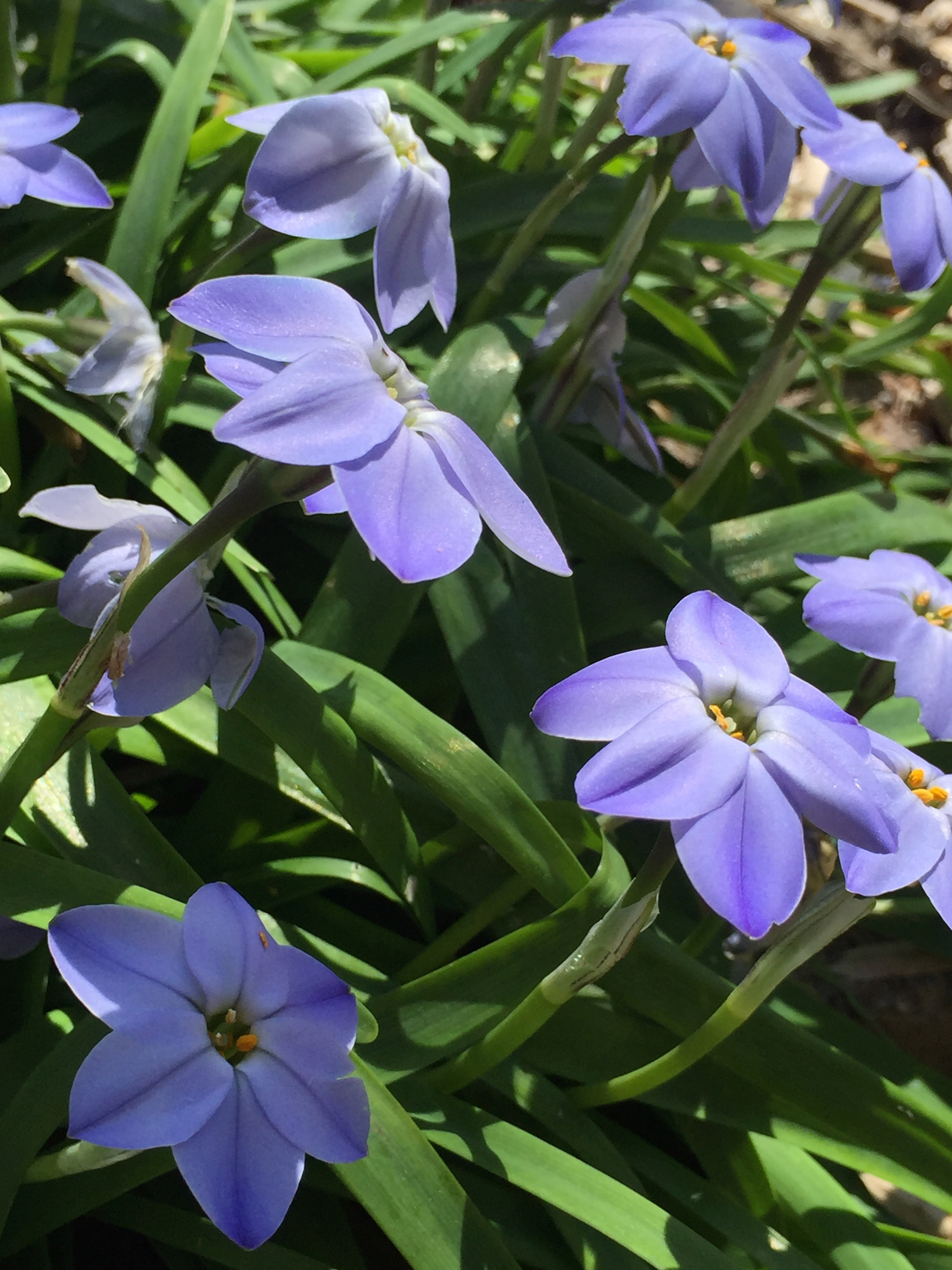 Ipheion uniflorum  'Wisley Blue', or Spring Star Flower. An Argentinian bulb that requires very little water and has a nice clumping, spreading habitat. Often the first flower out in spring, although it's usually a race between this and my manzanita bushes.