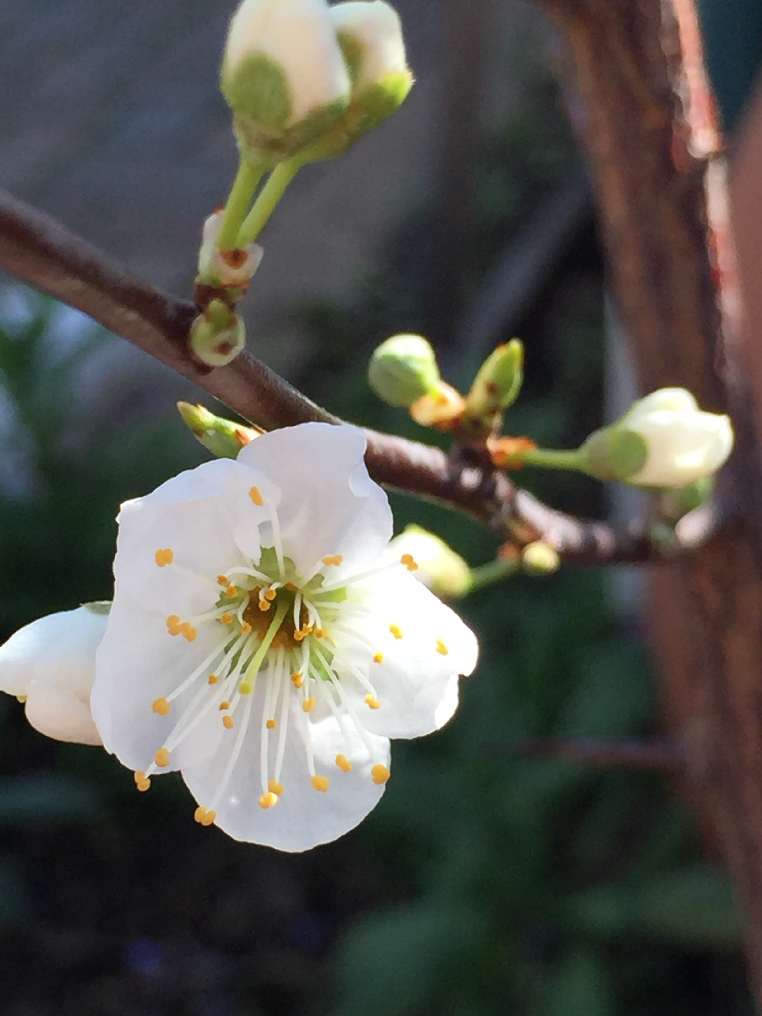 Our Santa Rosa plum is blooming heavily this year! Very exciting, as this means we will likely get a good fruit set. Santa Rosa plum is a cultivar developed by Luther Burbank in Santa Rosa CA in 1906. It's a very popular plum tree here.