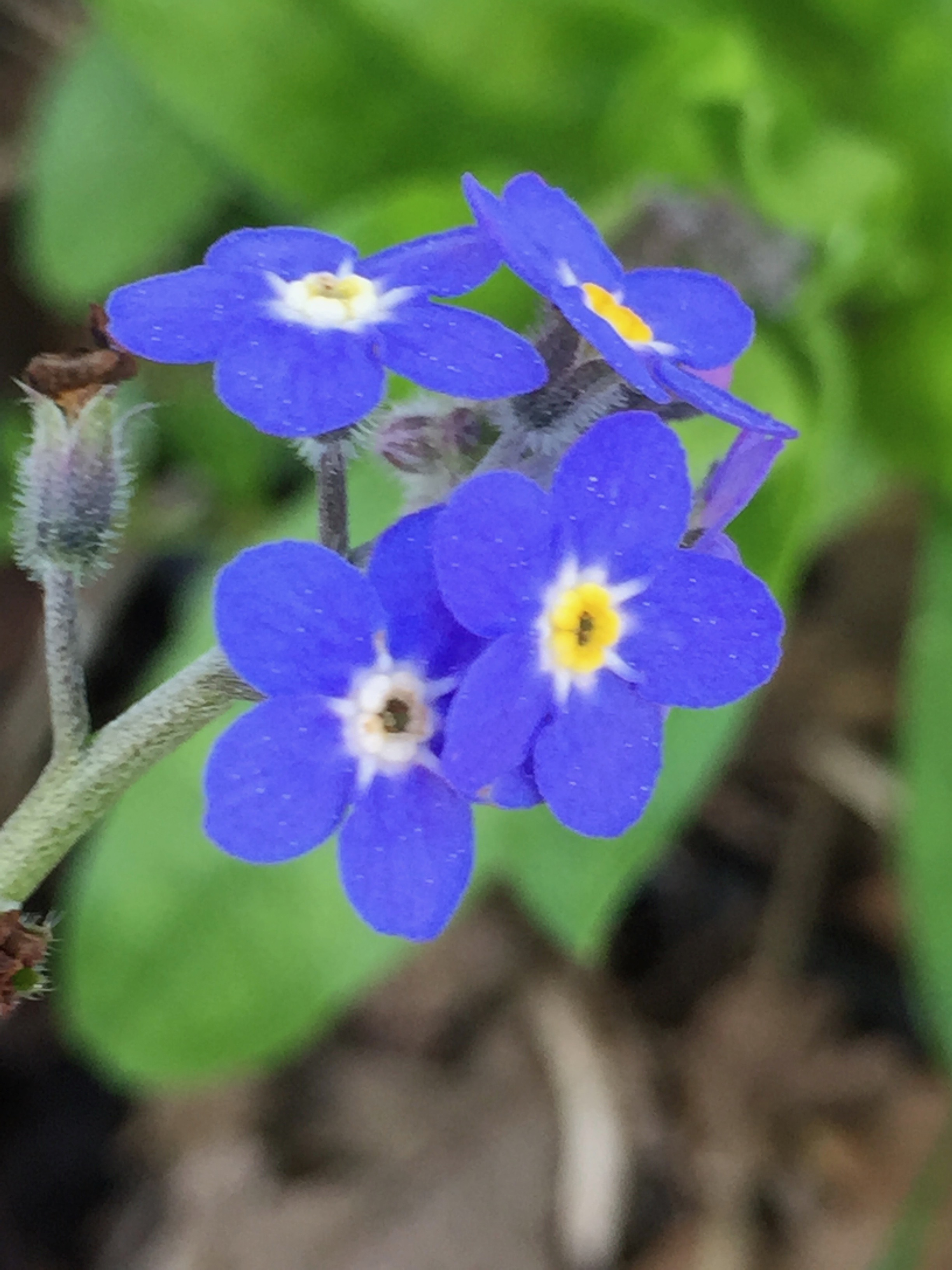 I have Chinese Forget-me-Not all over the garden, as it readily self-sows. This is  Cynoglossum  and is also often called Chinese Hound's Tongue. I also have a purple variety growing - check out the next photo -