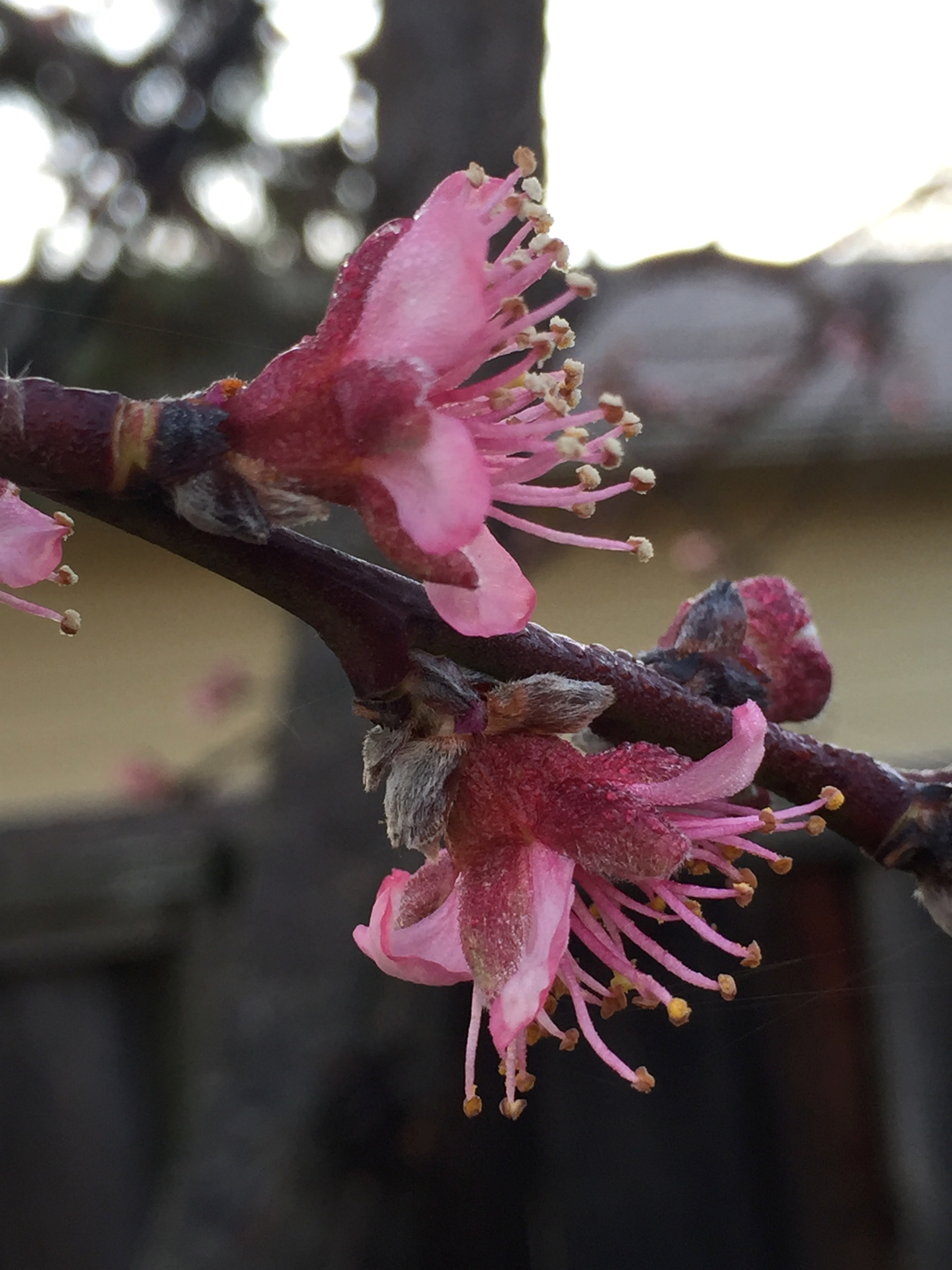 our peach tree