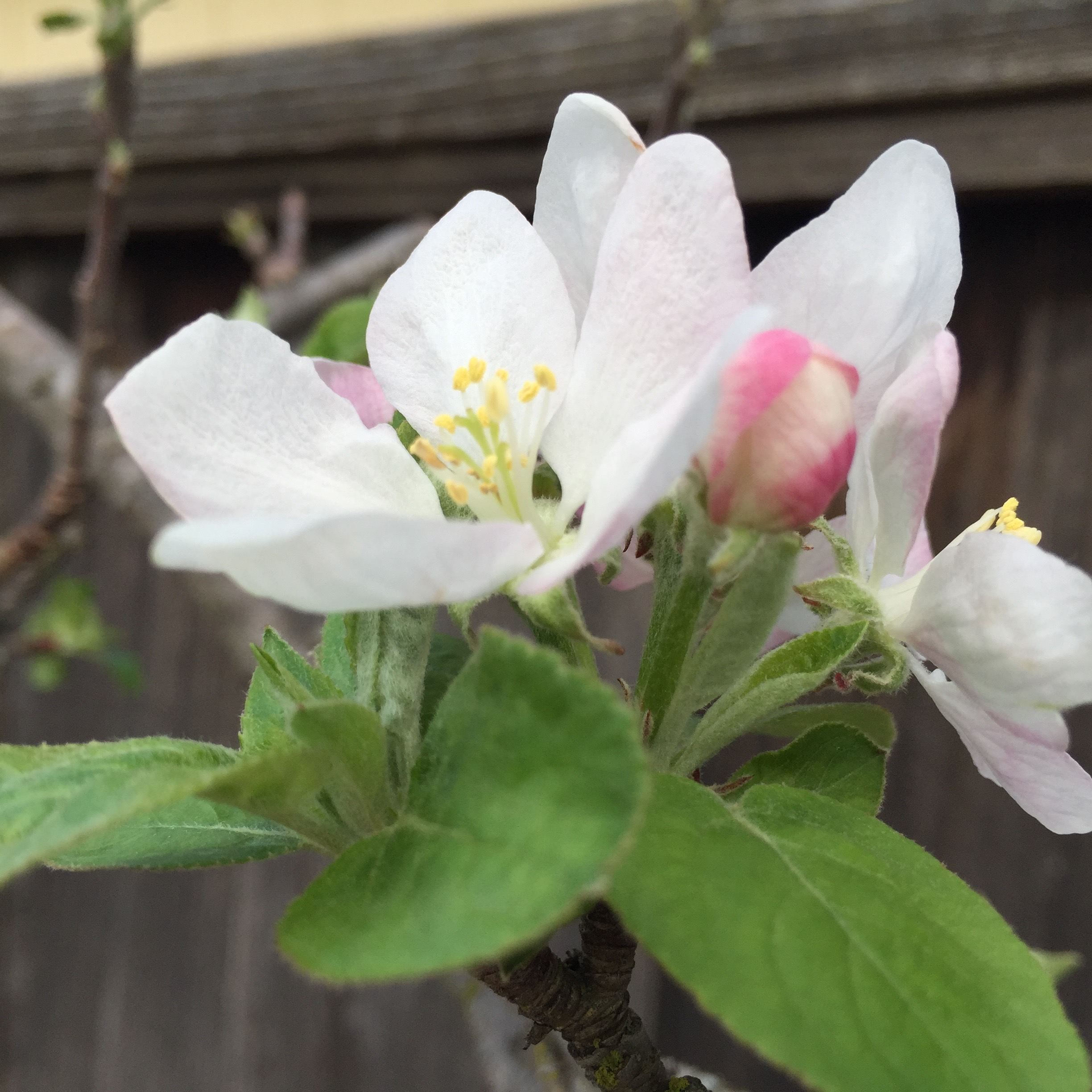 our apple tree, here when we moved in 13 years ago and still going strong