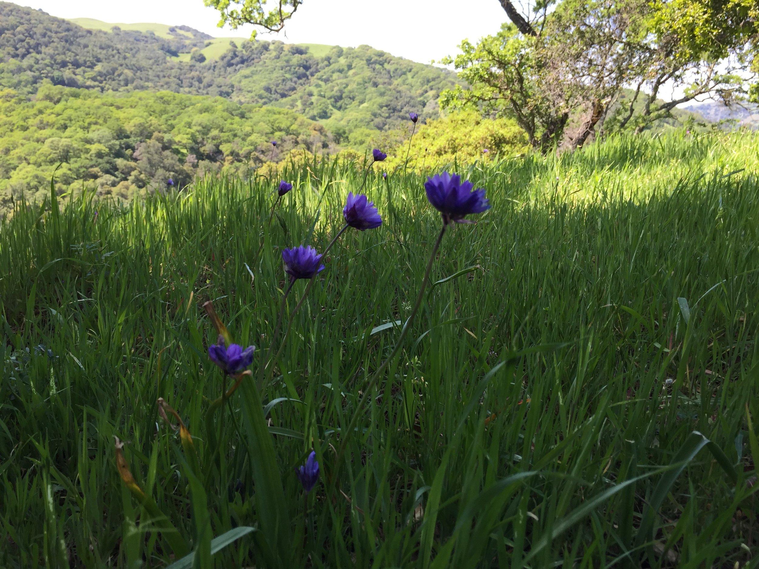Dichelostemma capitatum  (common name, Blue Dicks), in Briones