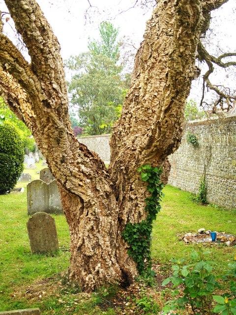 Cork Oak Tree - photo by Chris McAuley