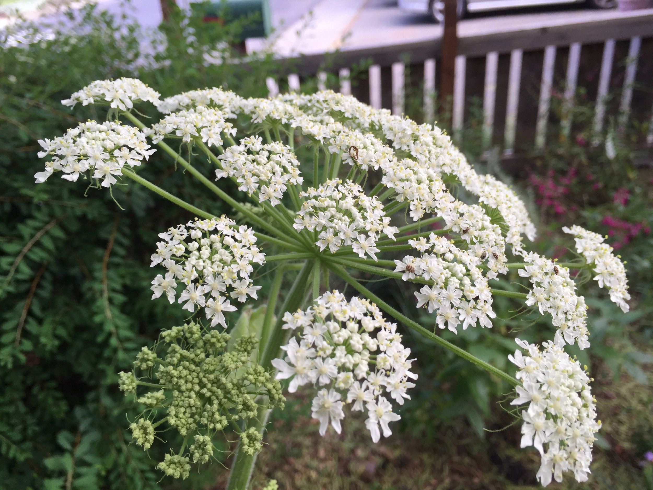 Heracleum maximum,  or Common Cow Parsnip