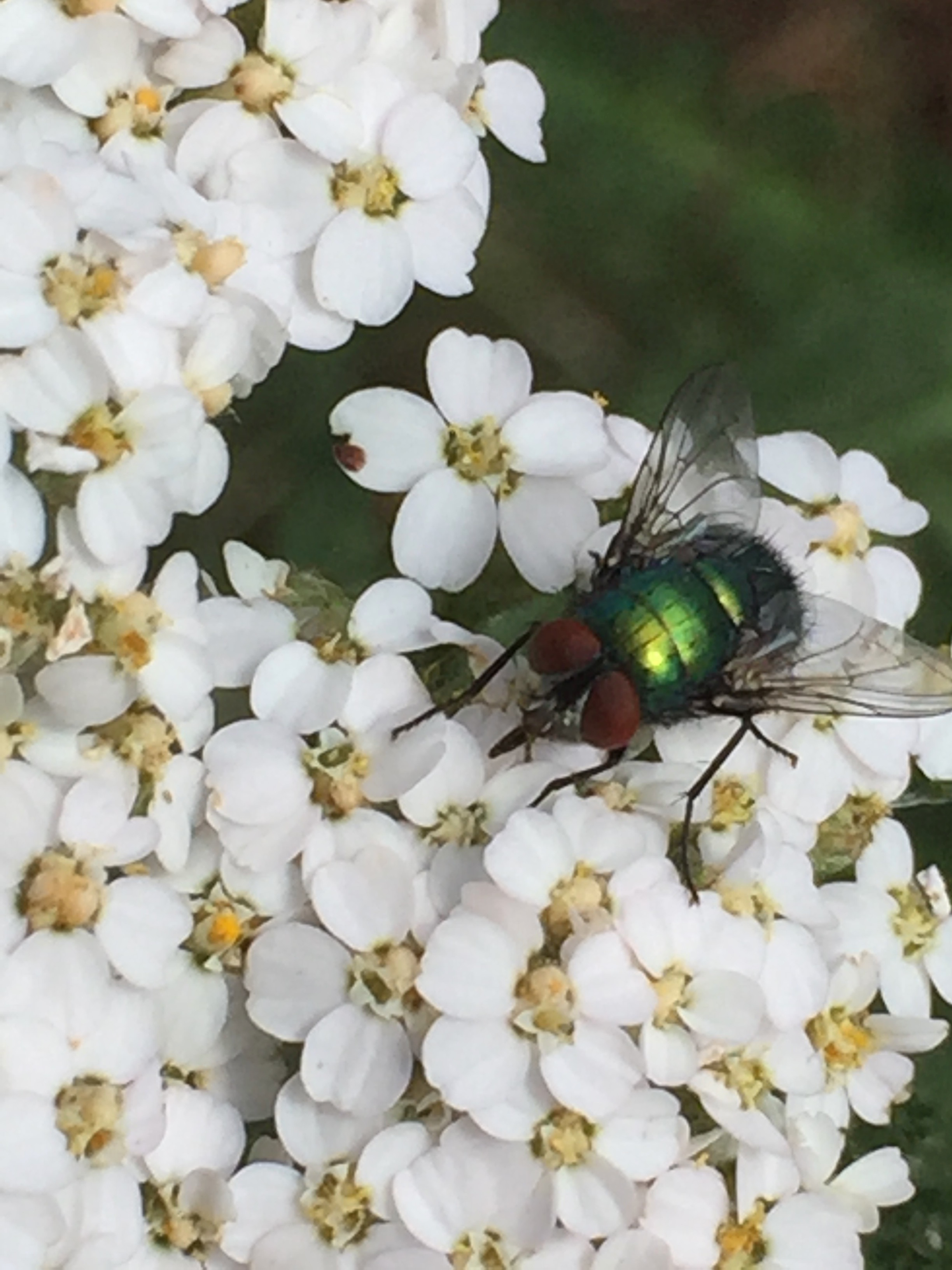 A common green bottle fly
