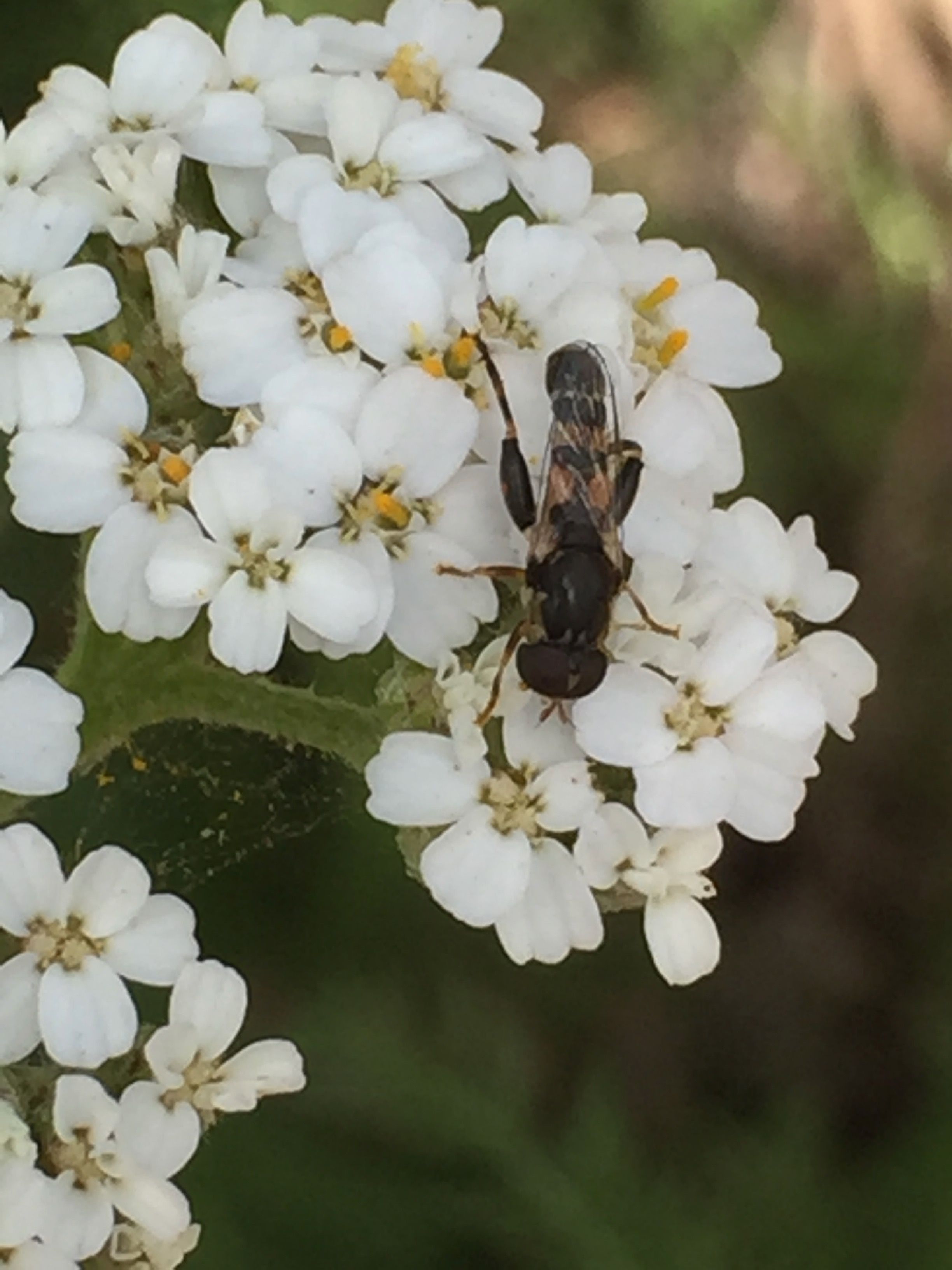 I'm pretty sure this is a  Sphaerophoria philanthus,  or syrphid fly