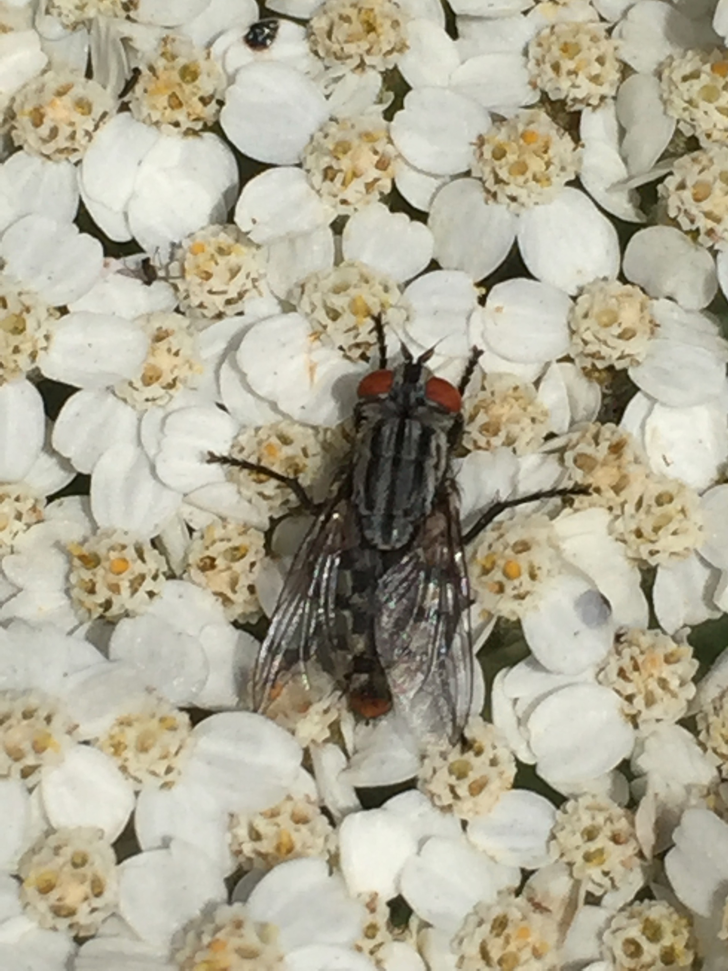 A flesh fly. Yeah, it eats what you think it eats. It's a natural composter!