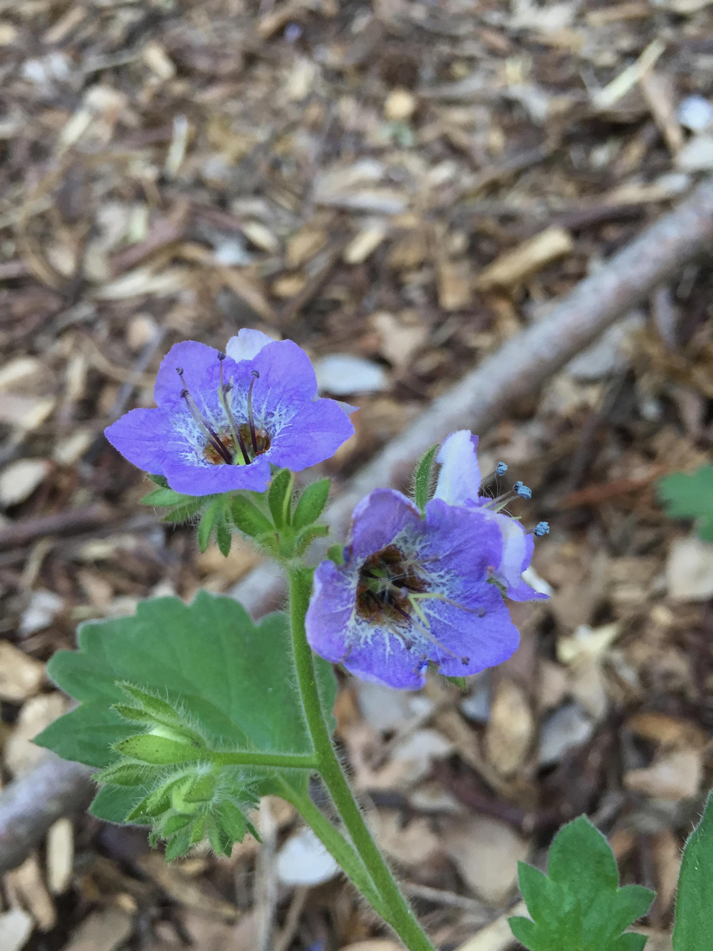Phacelia bolanderi, or Woodland Phacelia