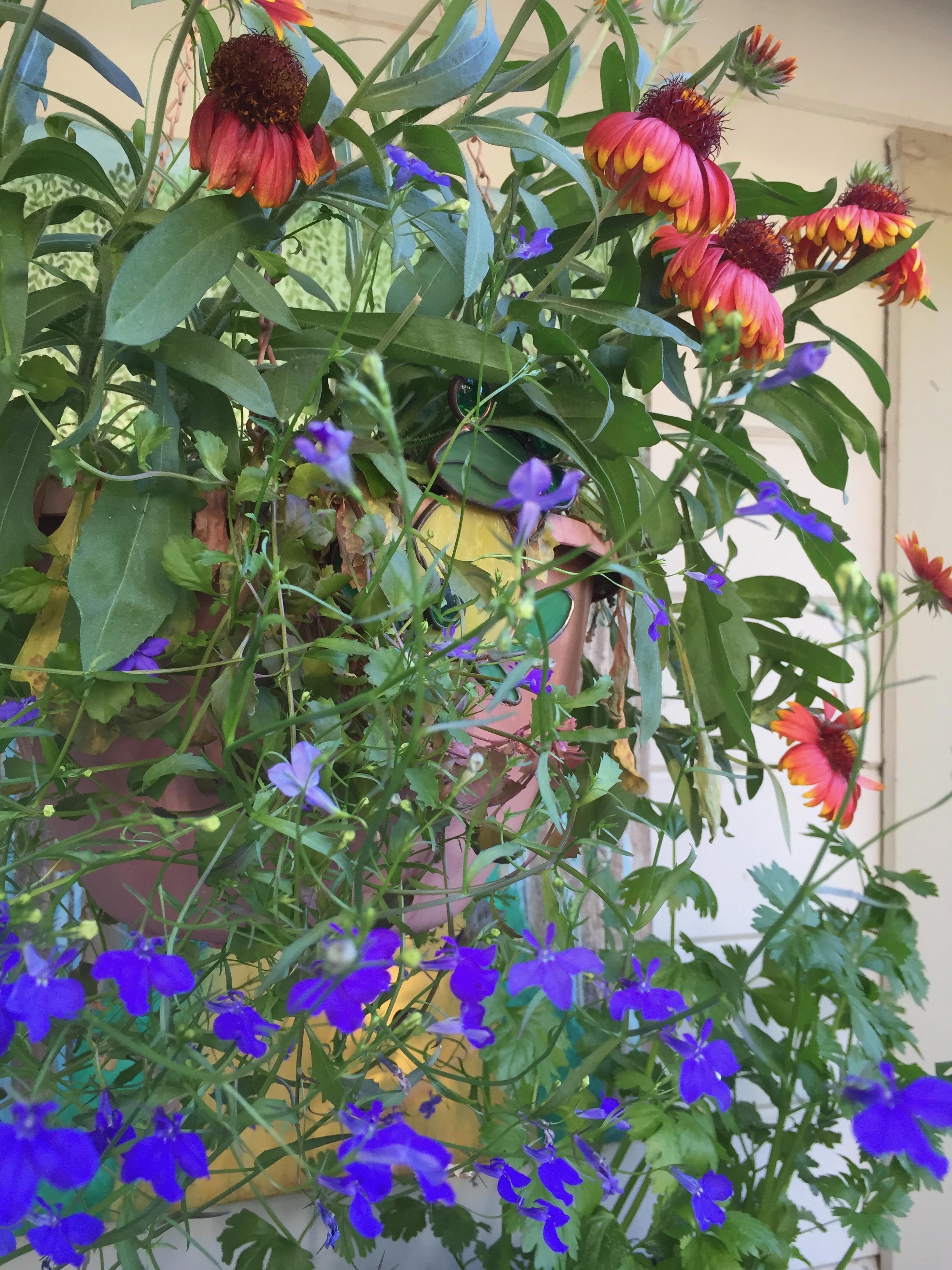 Windowbox  Lobelia , Blue Heaven (with Gaillardia in the background)