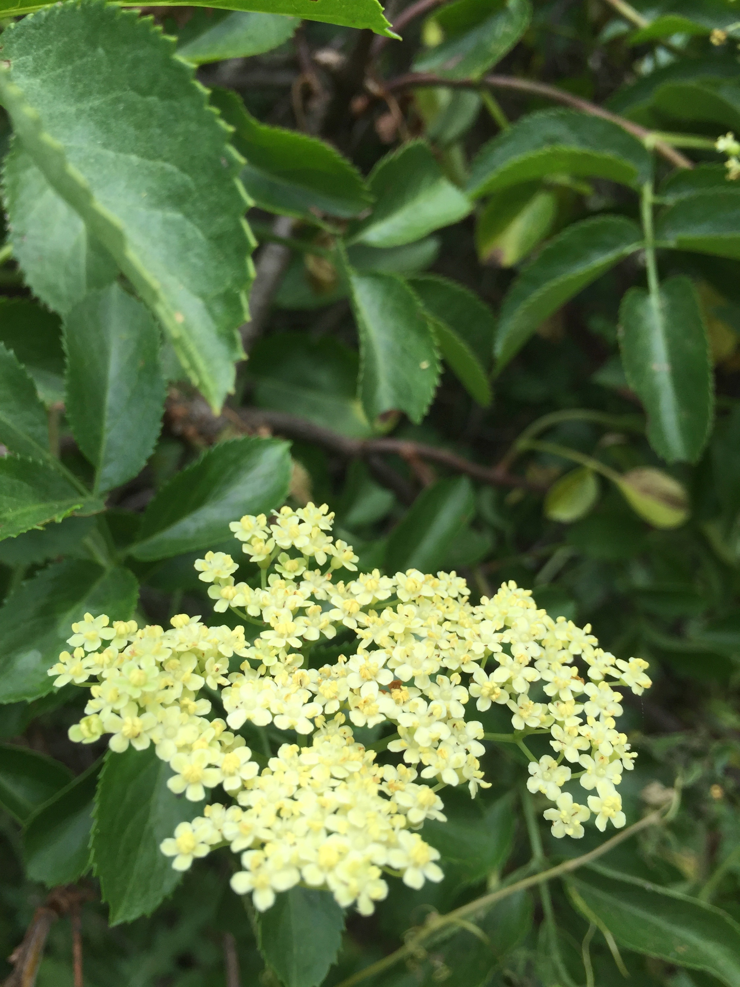 A native Elderberry tree in blossom