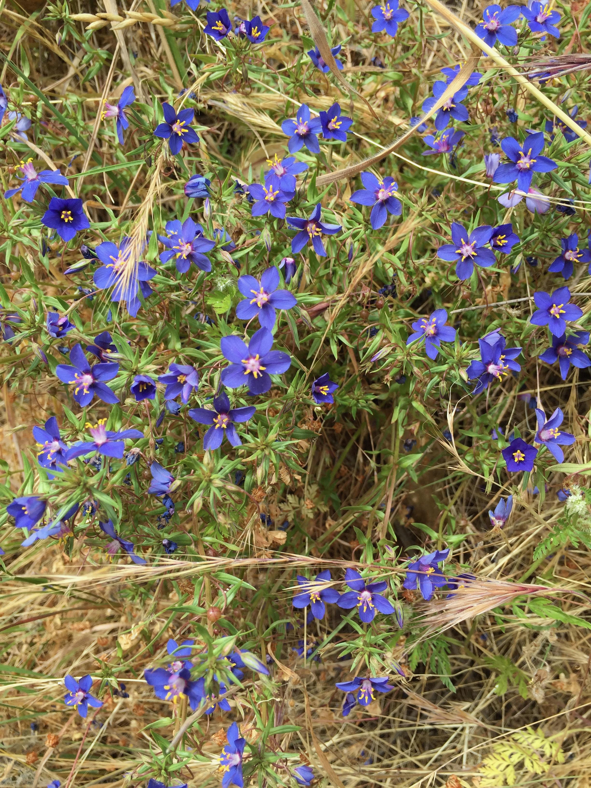 Anagallis monellii  'Blue Pimpernel,' an exotic that has naturalized