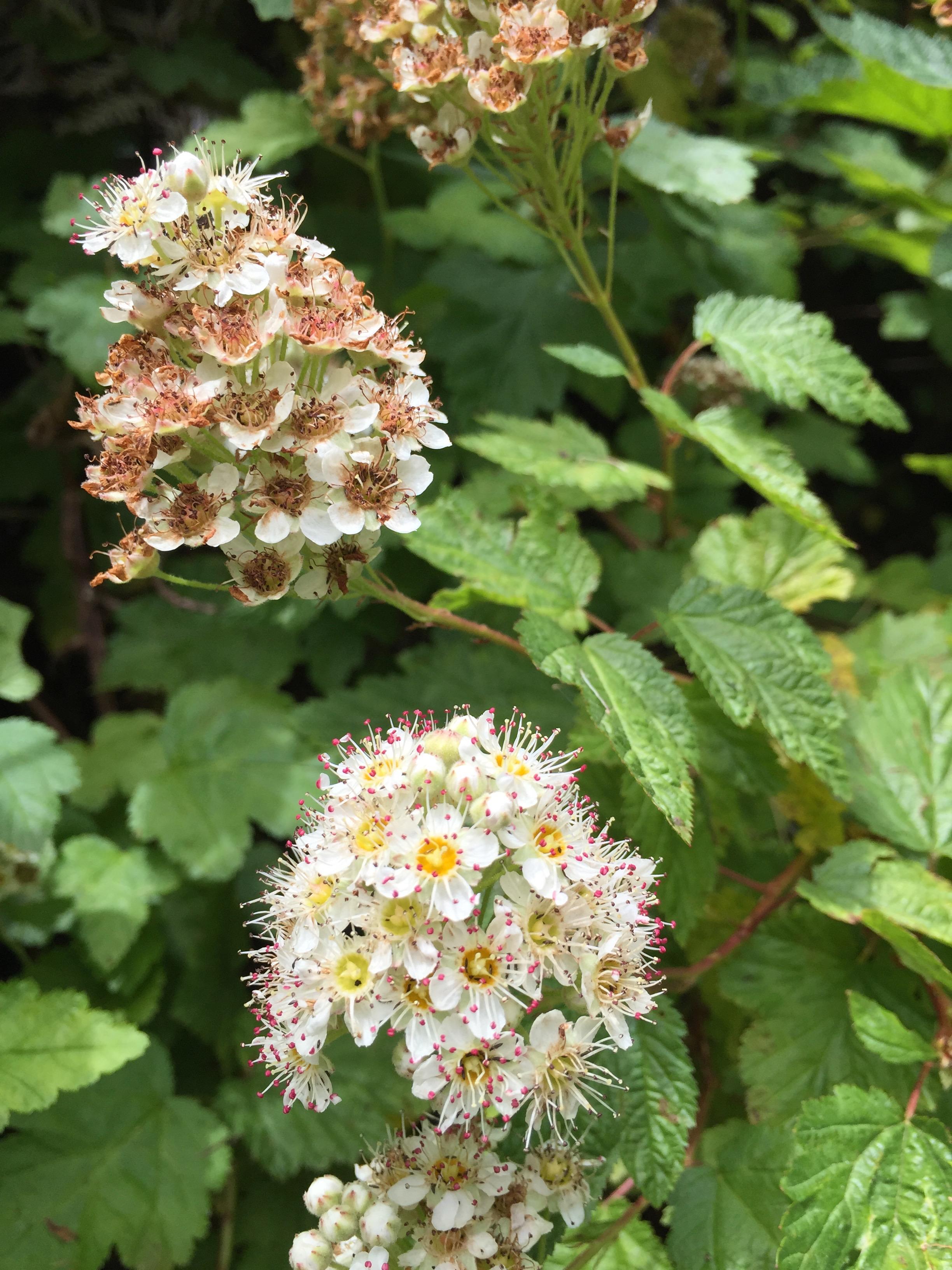Physocarpus capitatus  (Pacific Ninebark)
