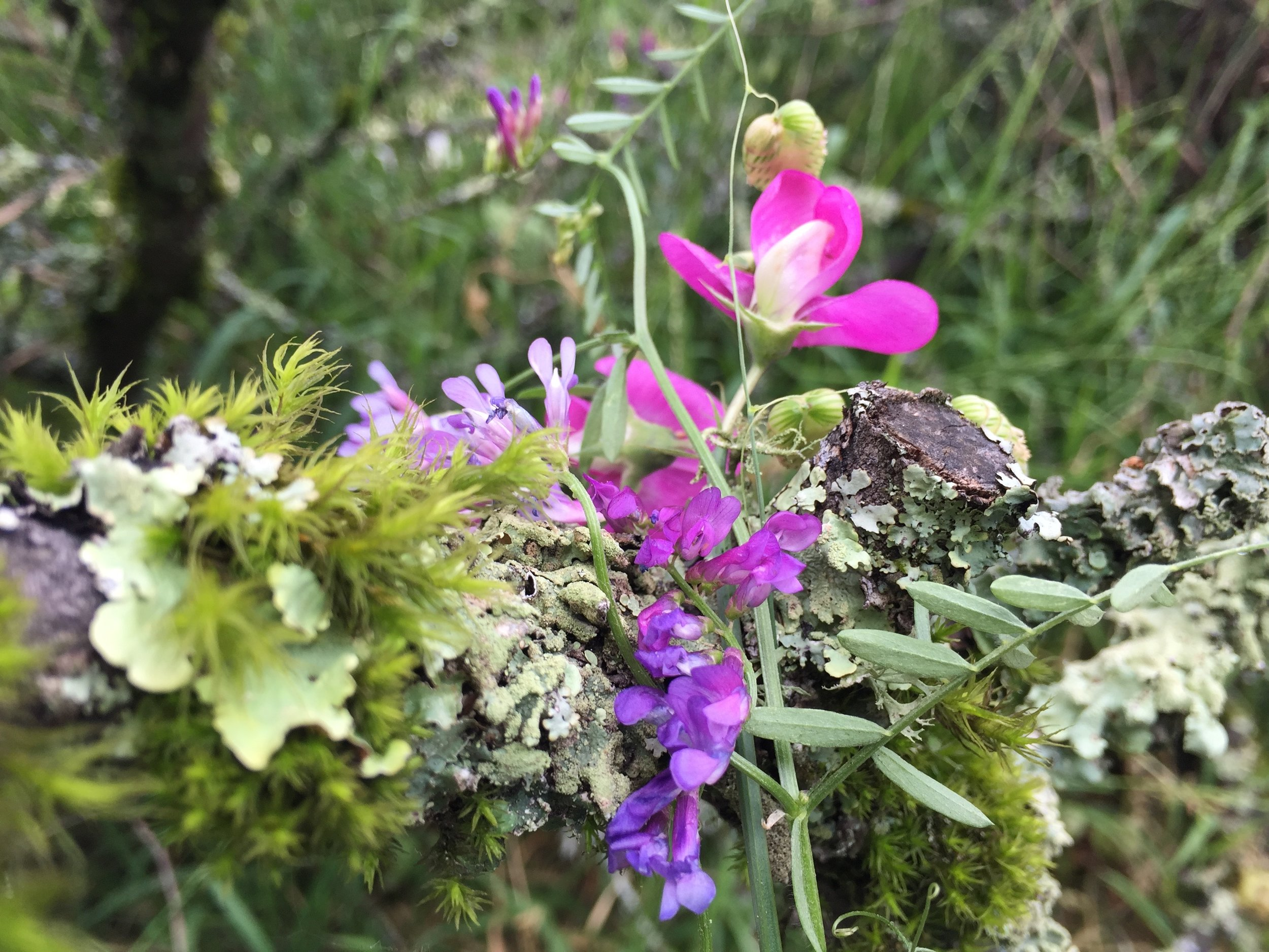 a little bouquet I foraged on our last hike, in the Berkeley hills: Exotic sweet pea and vetch, along with some rattlesnake grass and a Ceanothus branch covered with lichens and mosses
