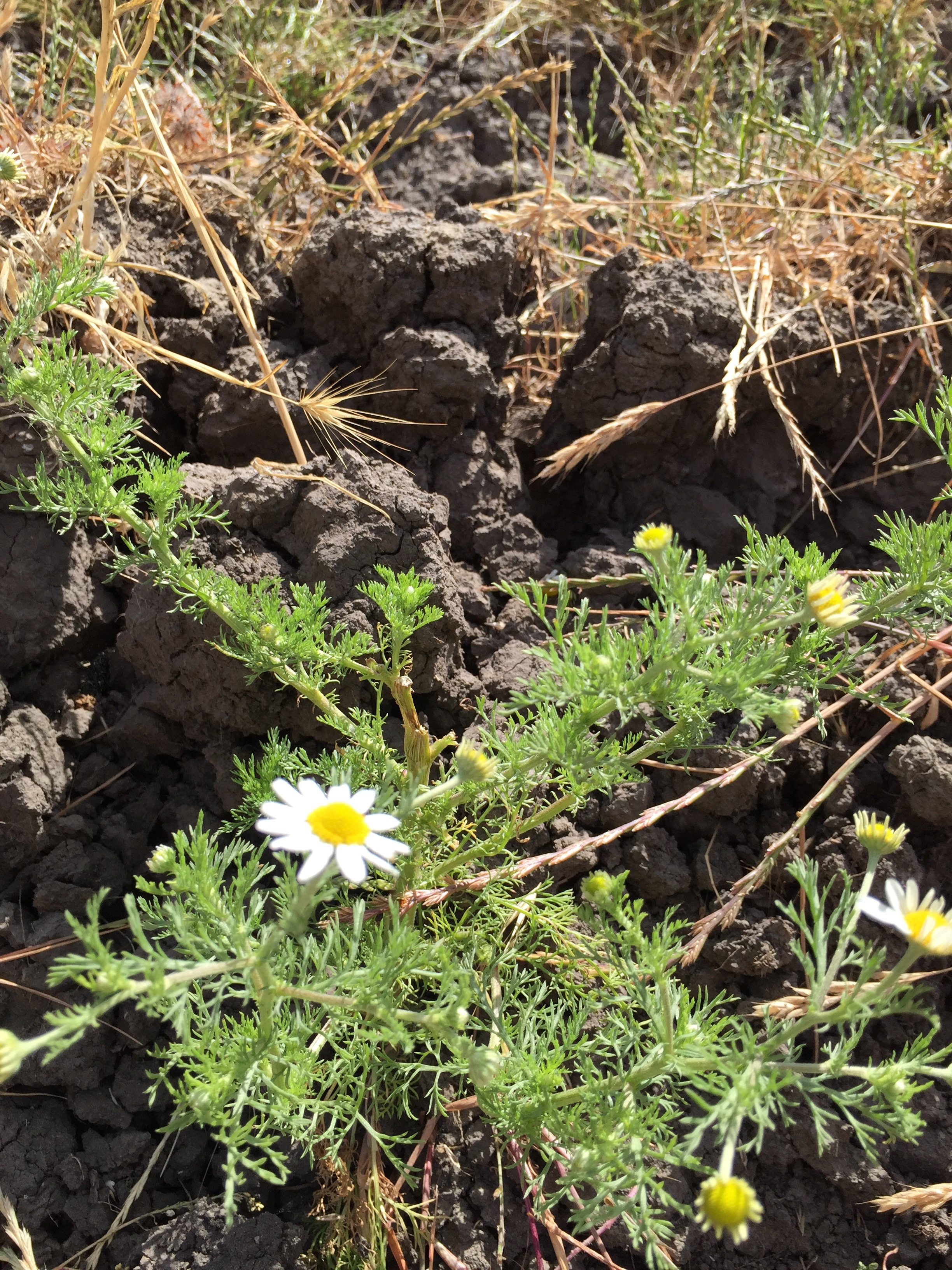 Amazing pineapple weed, surviving beautifully in dry, cracked clay